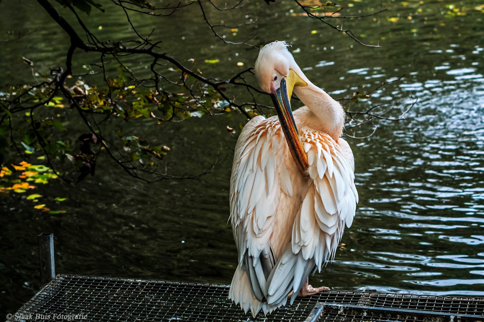 Pelican by Sjaak Buis