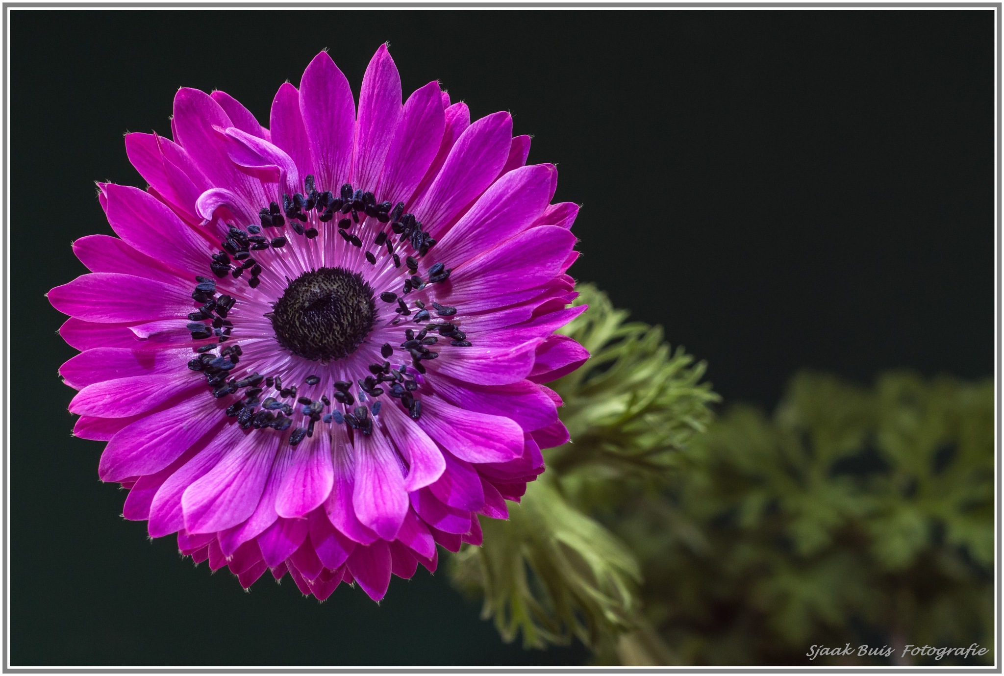 The Anemone by Sjaak Buis