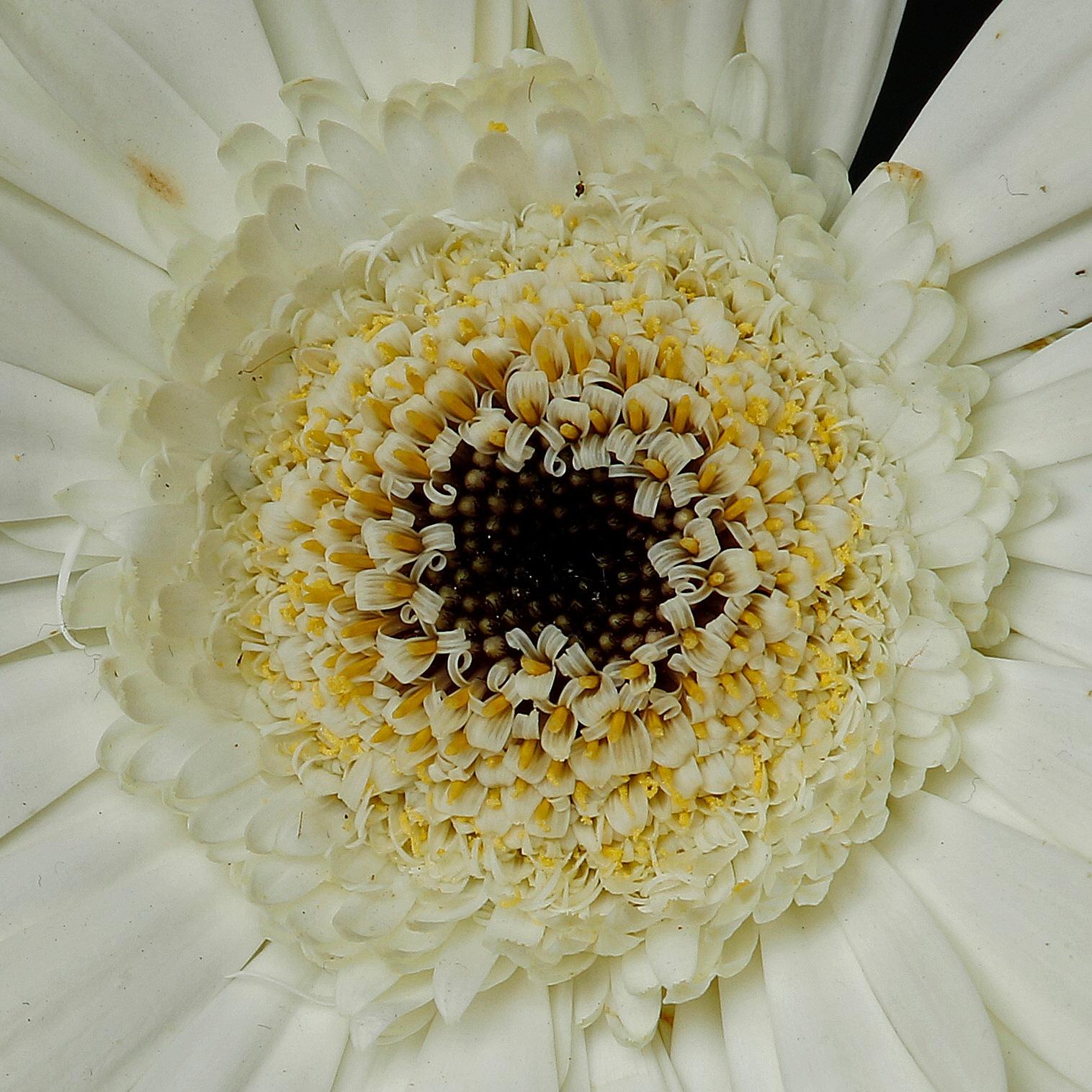 Flower the Gerbera by Sjaak Buis