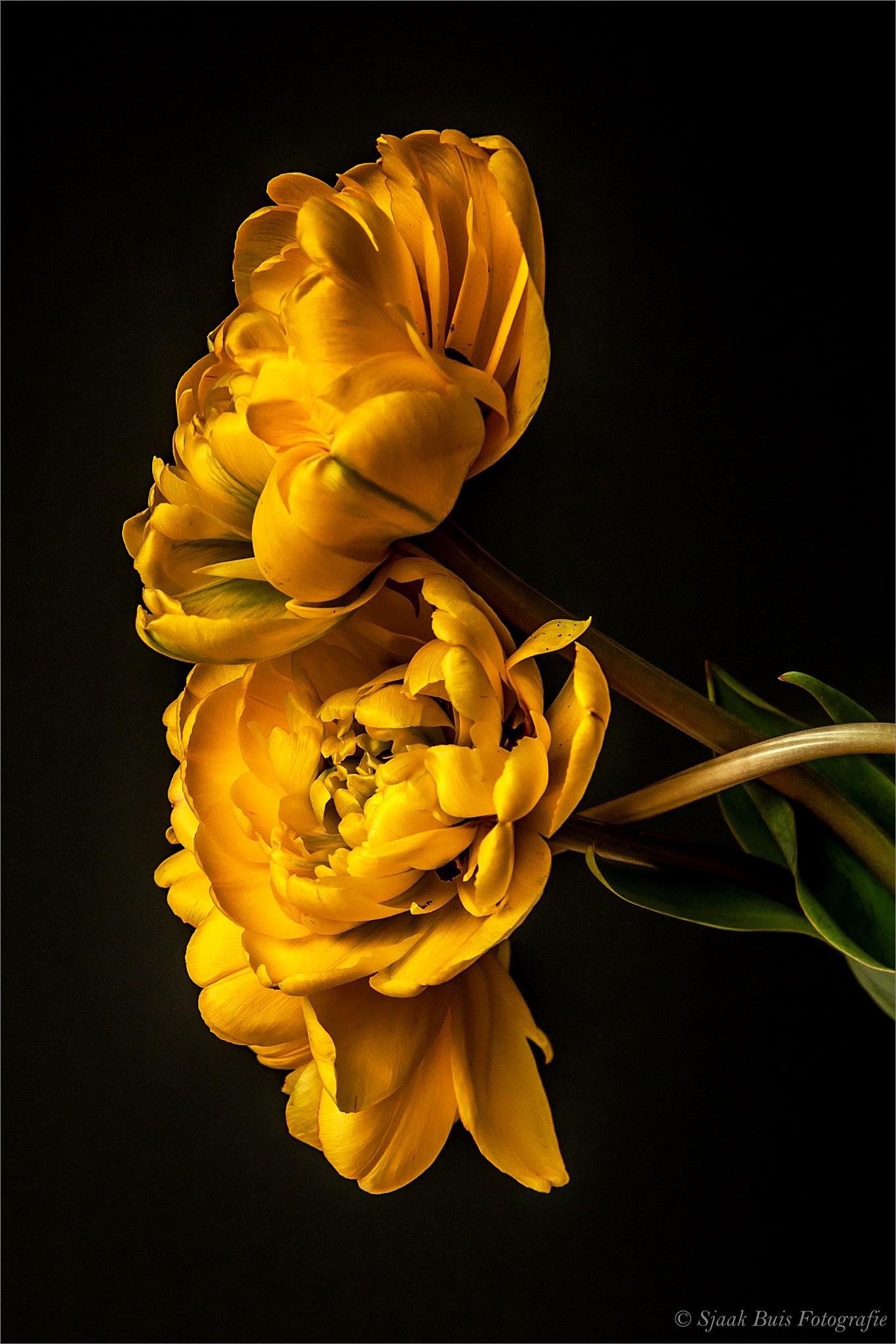 Yellow Peony tulip 4 by Sjaak Buis