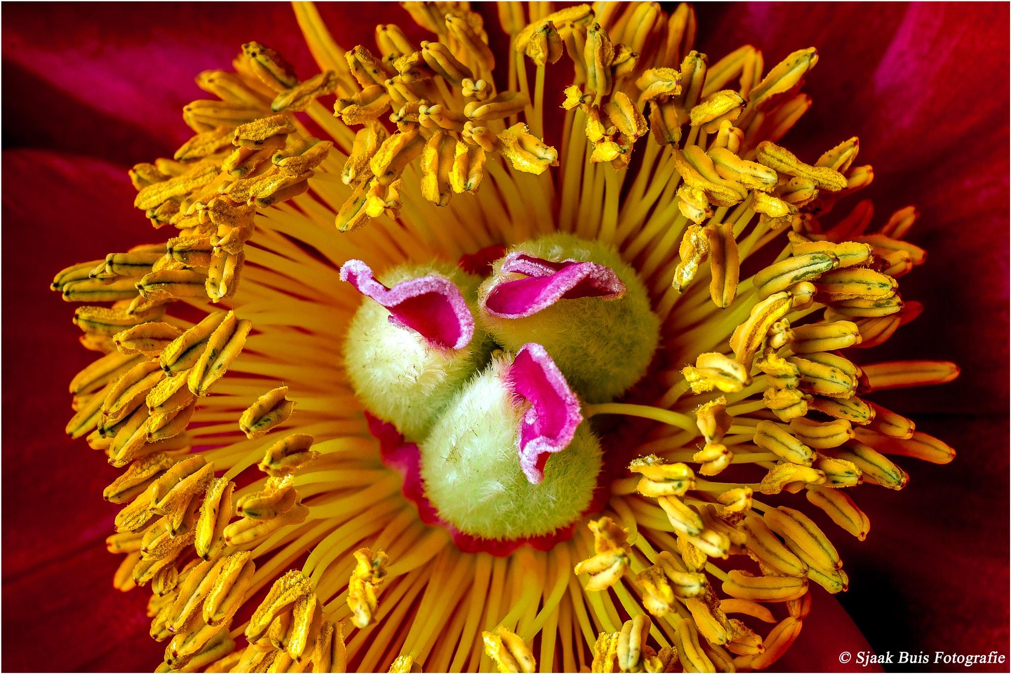 Hart from Pioen Roos (Flower) by Sjaak Buis