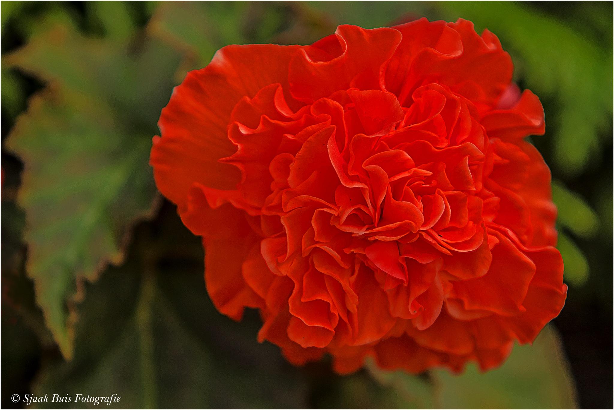 Begonia Red by Sjaak Buis