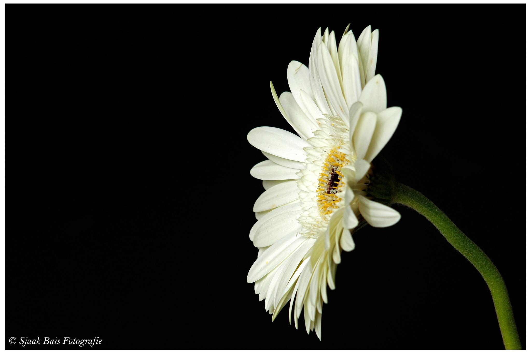 Flower the Gerbera 3 by Sjaak Buis