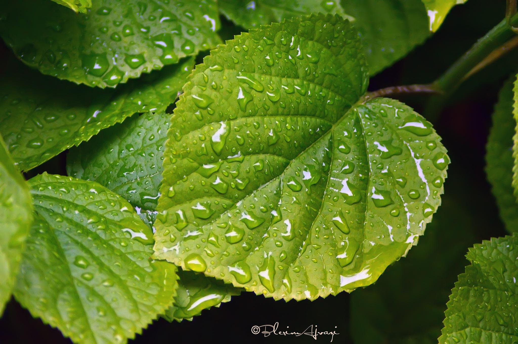Rainy leaf by Blerim Ajvazi