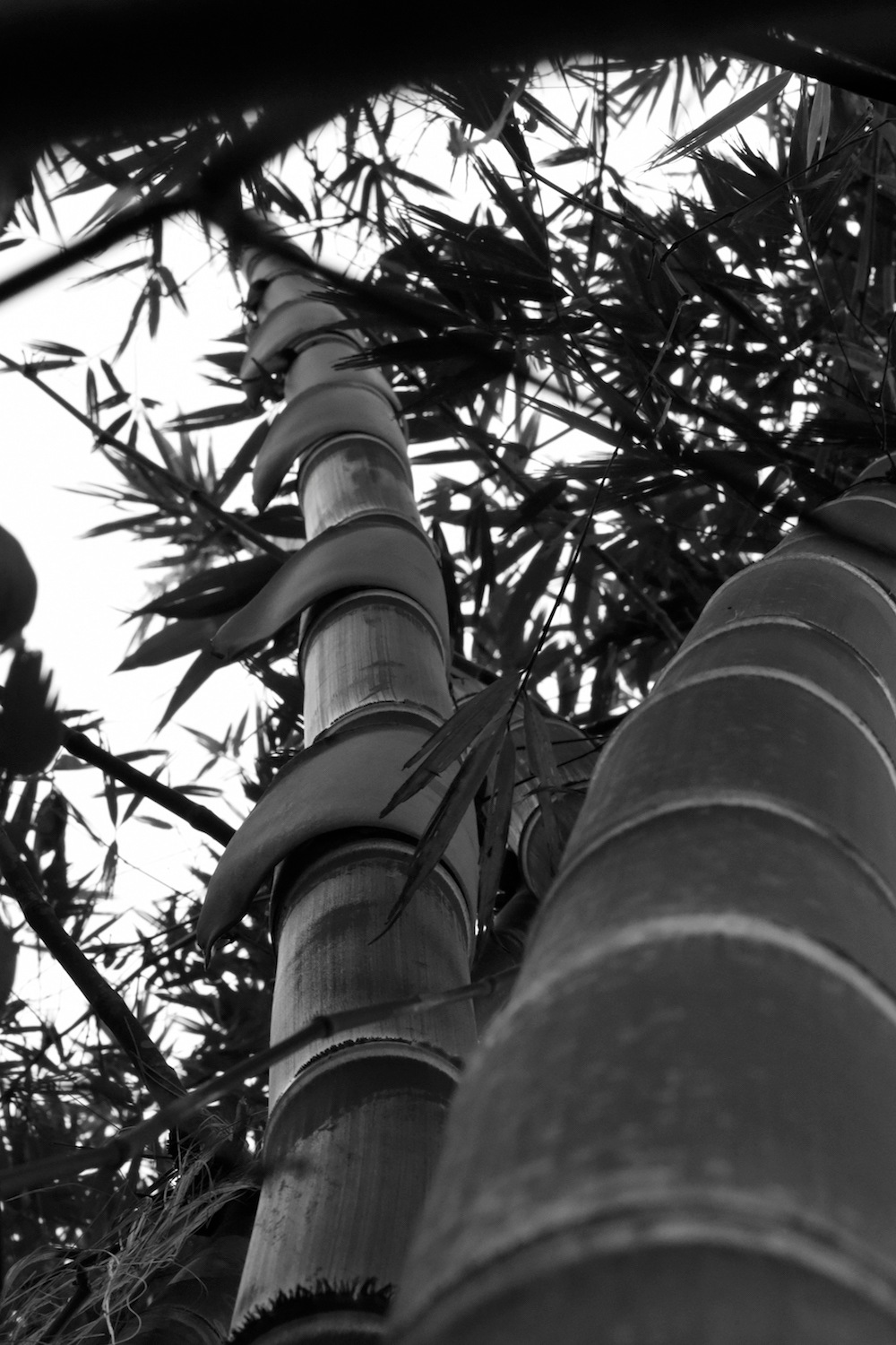 Black and White Bamboo by Brian Baity