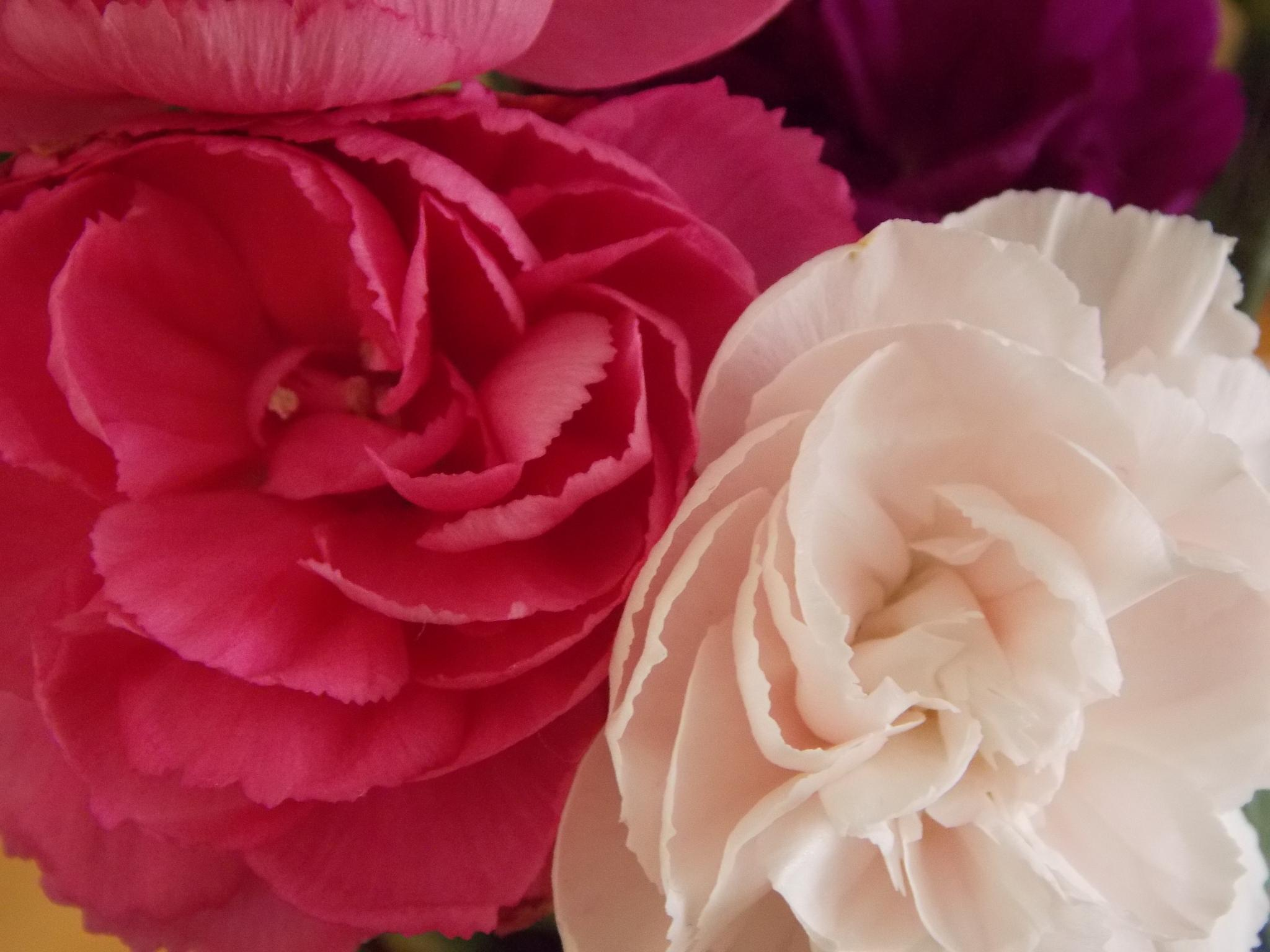 Mixed Carnations by Esther Allberry