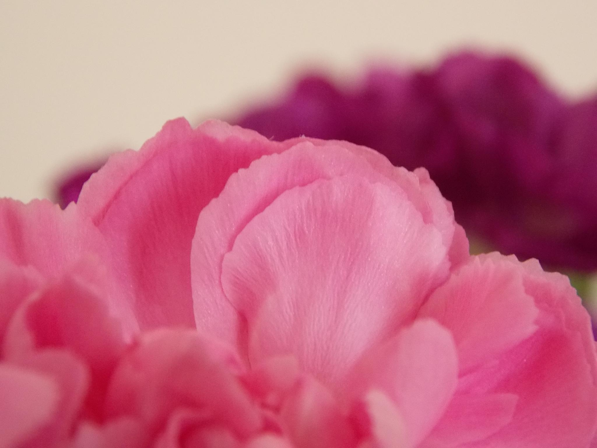 Carnation Petals by Esther Allberry