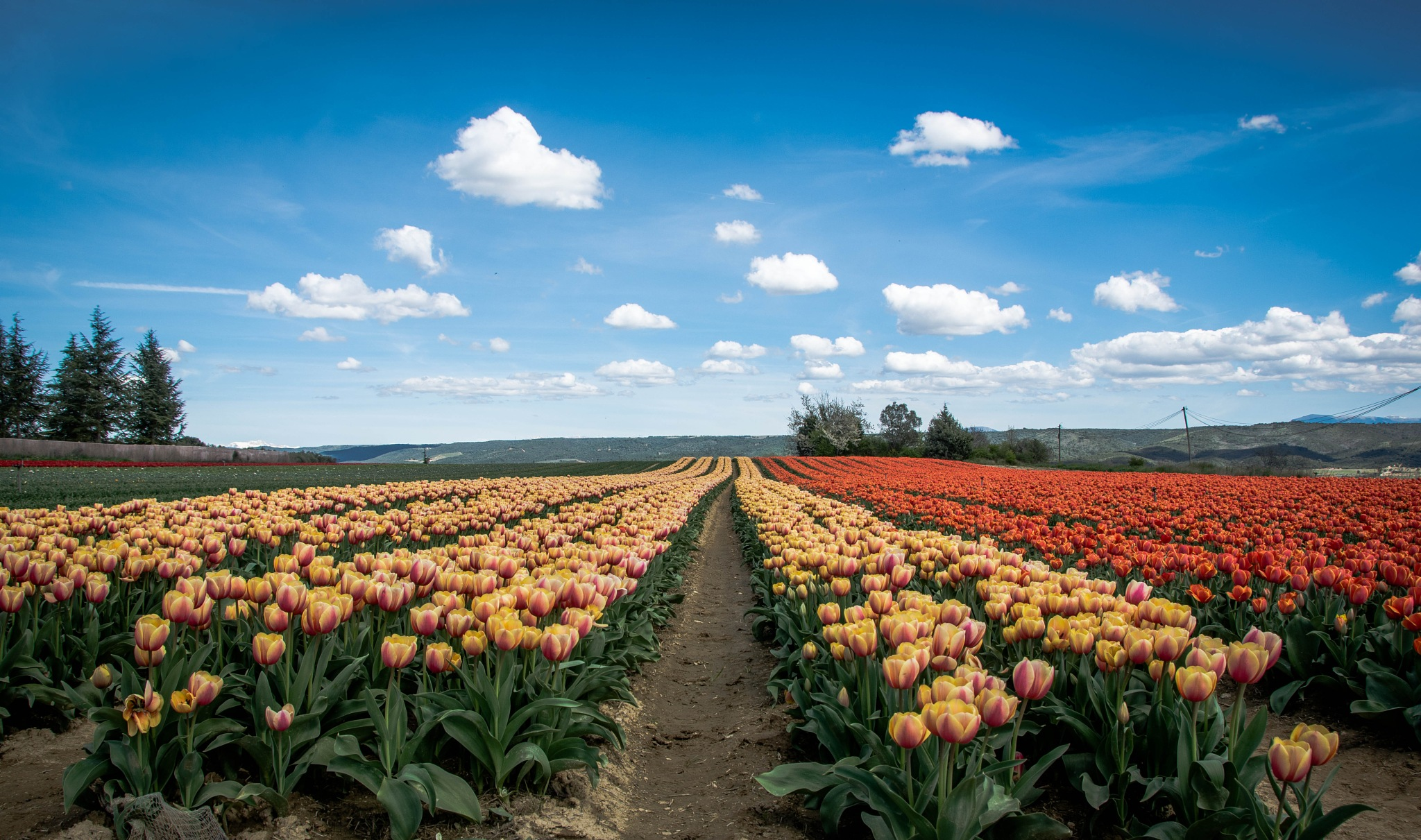 Tulipes  by Instemps Focus