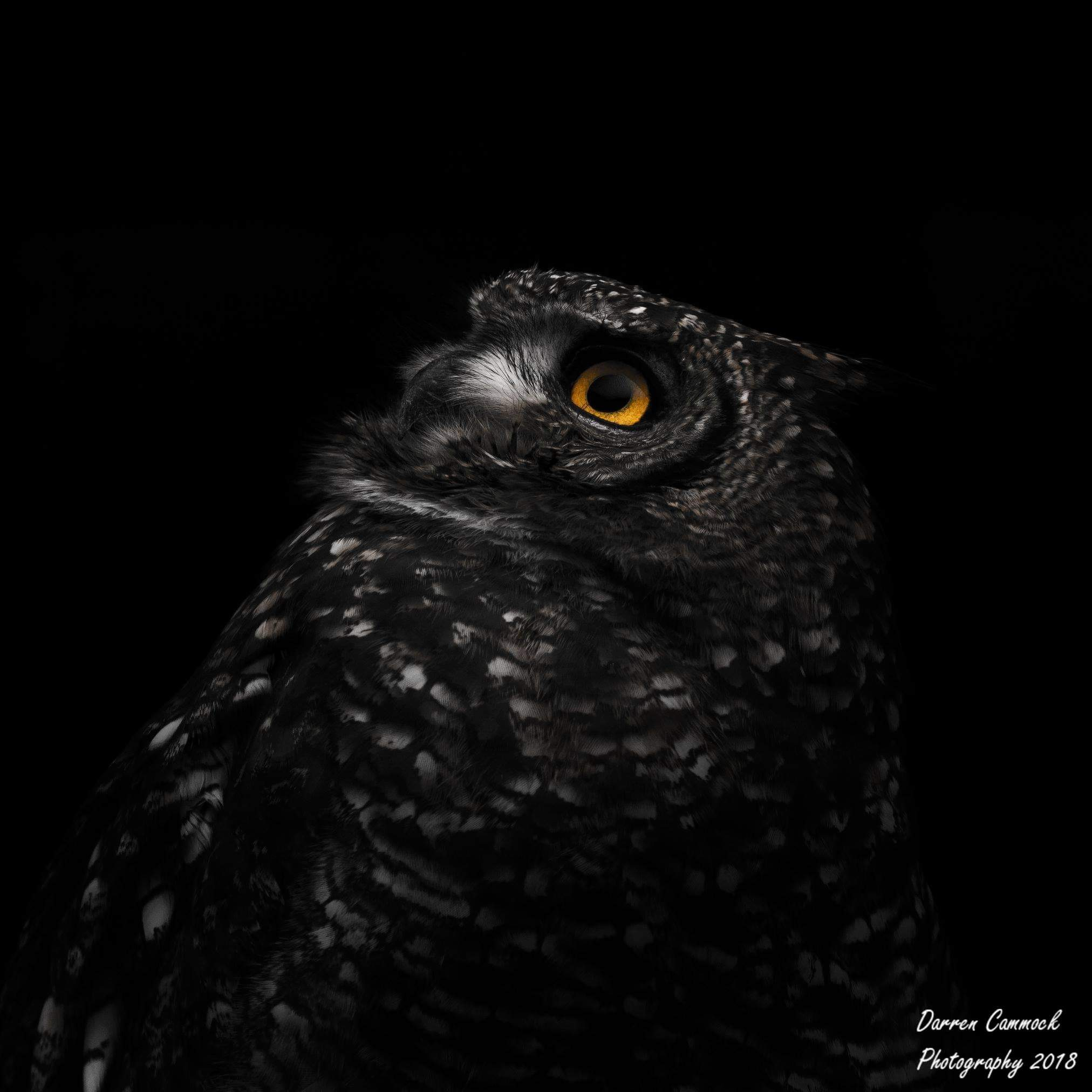 African Spotted Eagle Owl by darrencammock