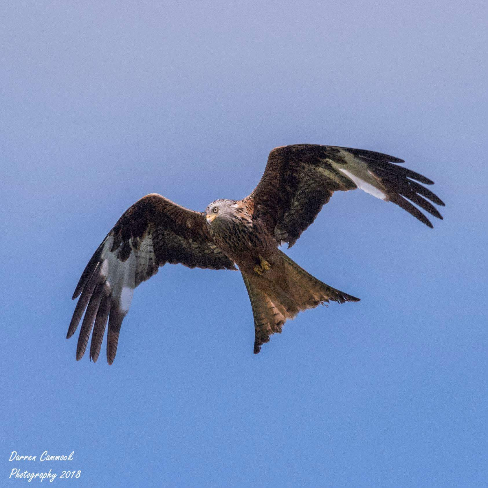 Red Kite by darrencammock