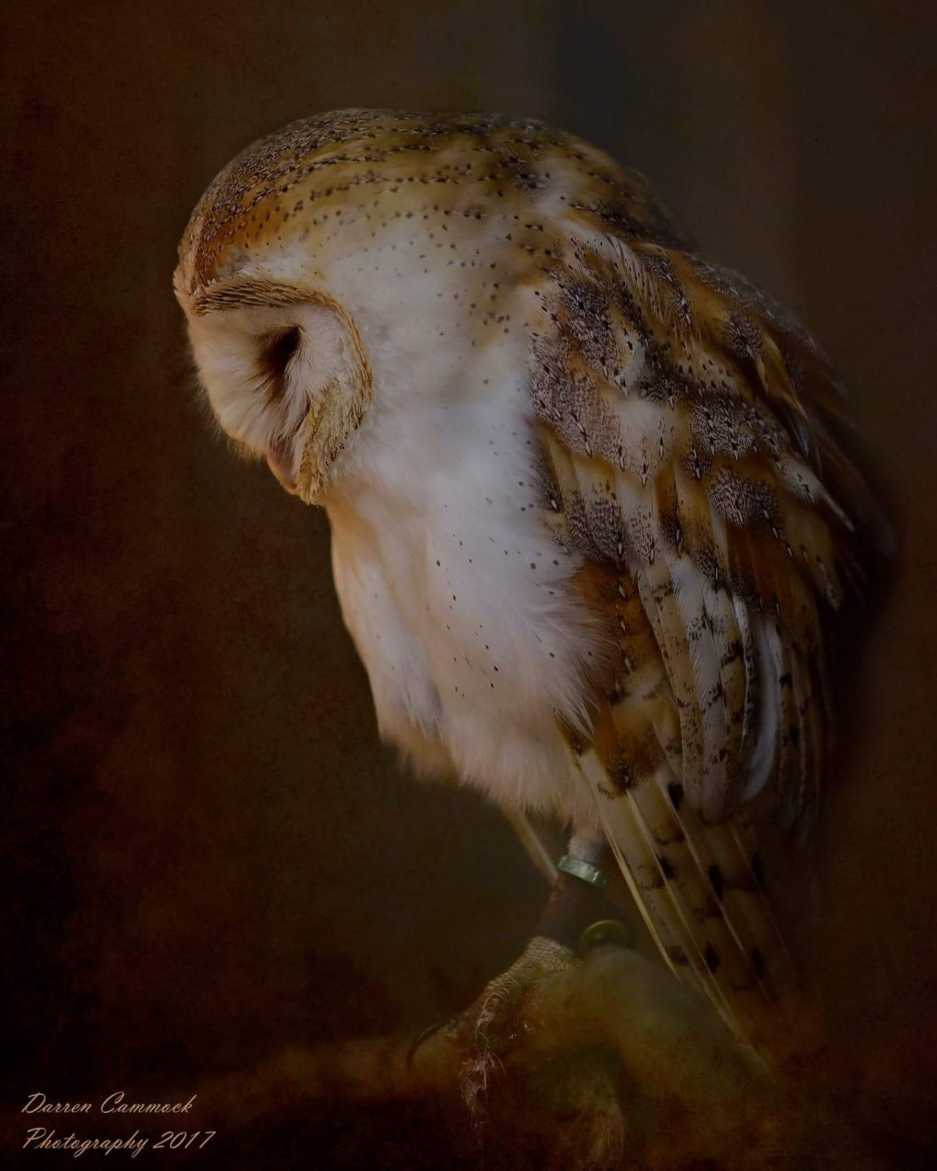 Barn Owl by darrencammock