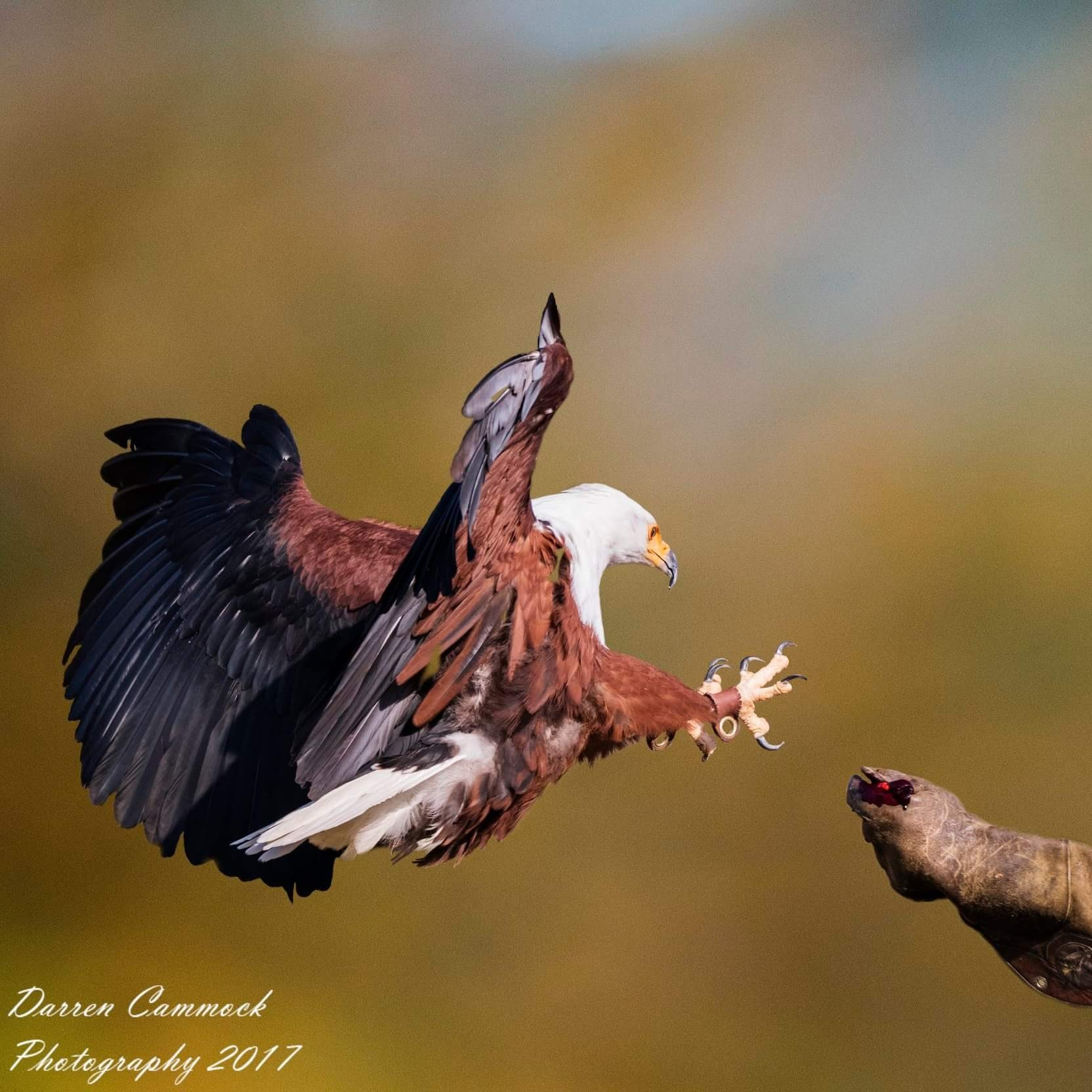 African Fish Eagle by darrencammock