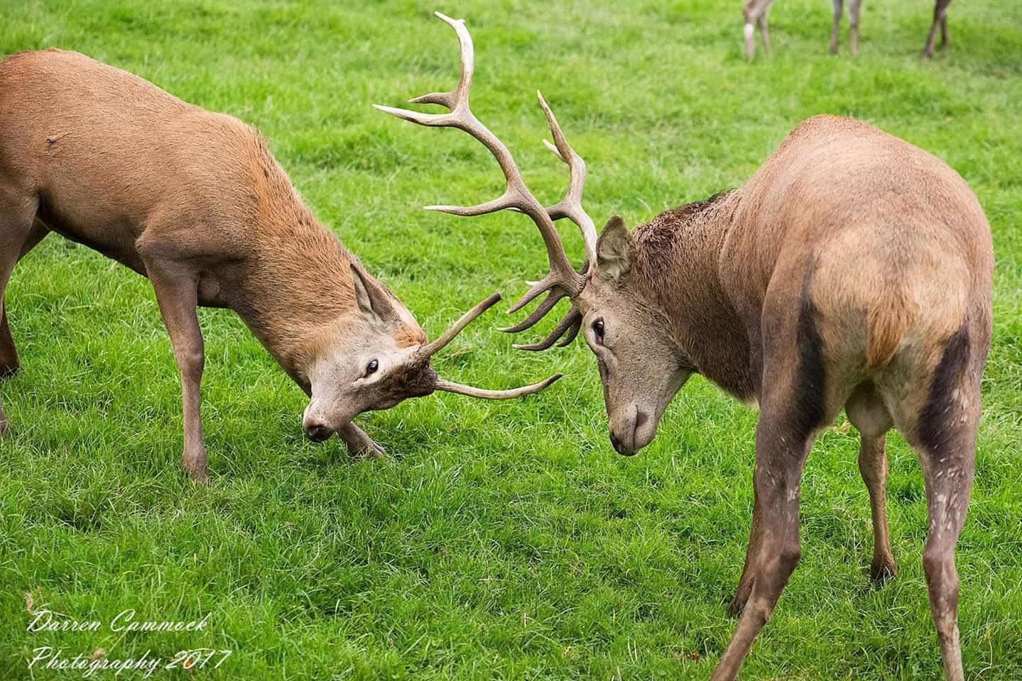 Deer by darrencammock
