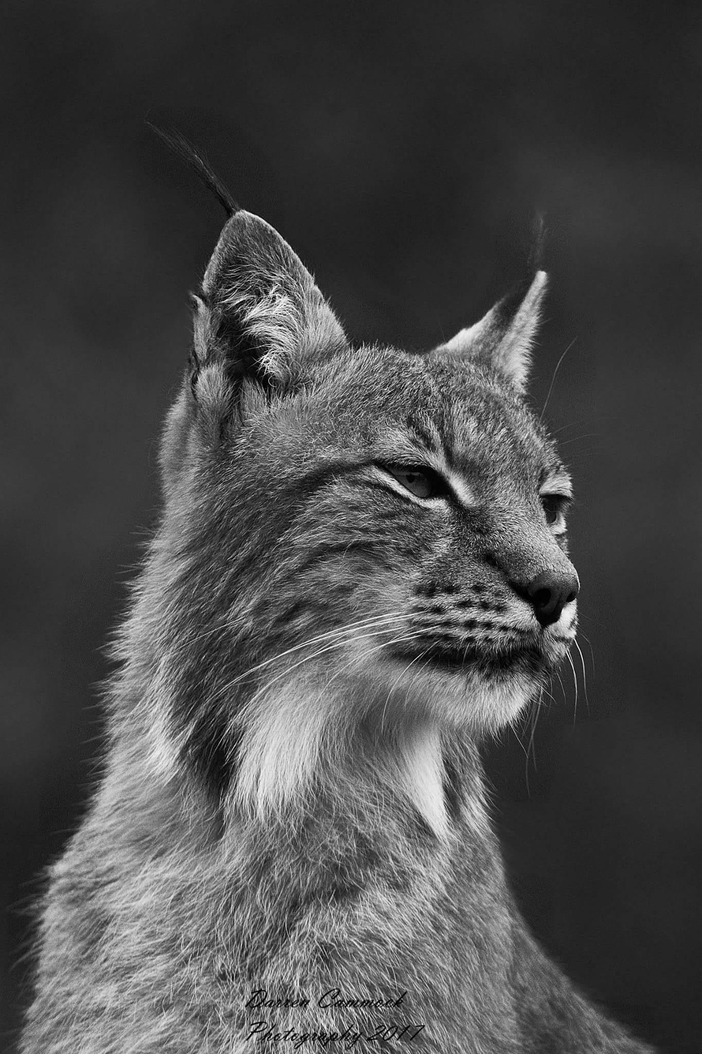 Eurasian Lynx by darrencammock
