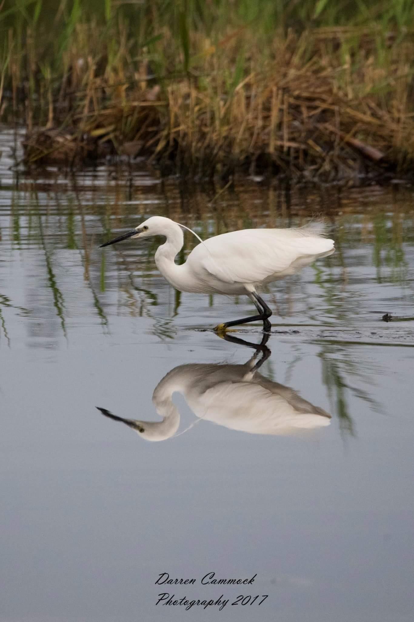 Egret by darrencammock
