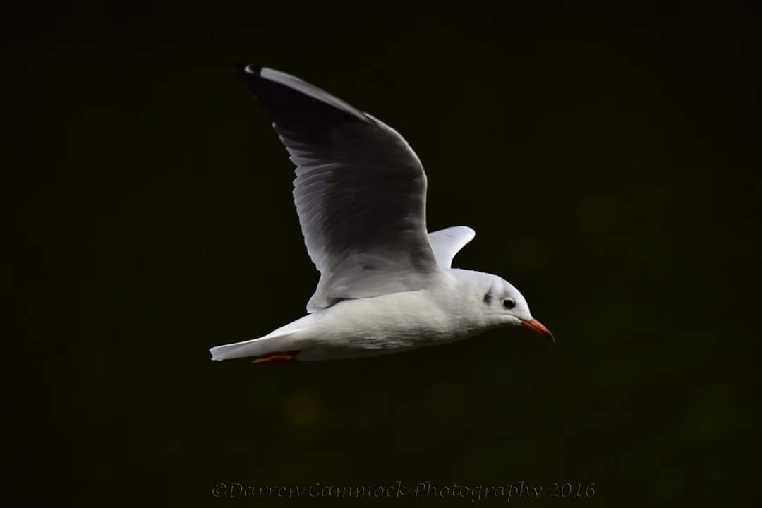 Gull by darrencammock