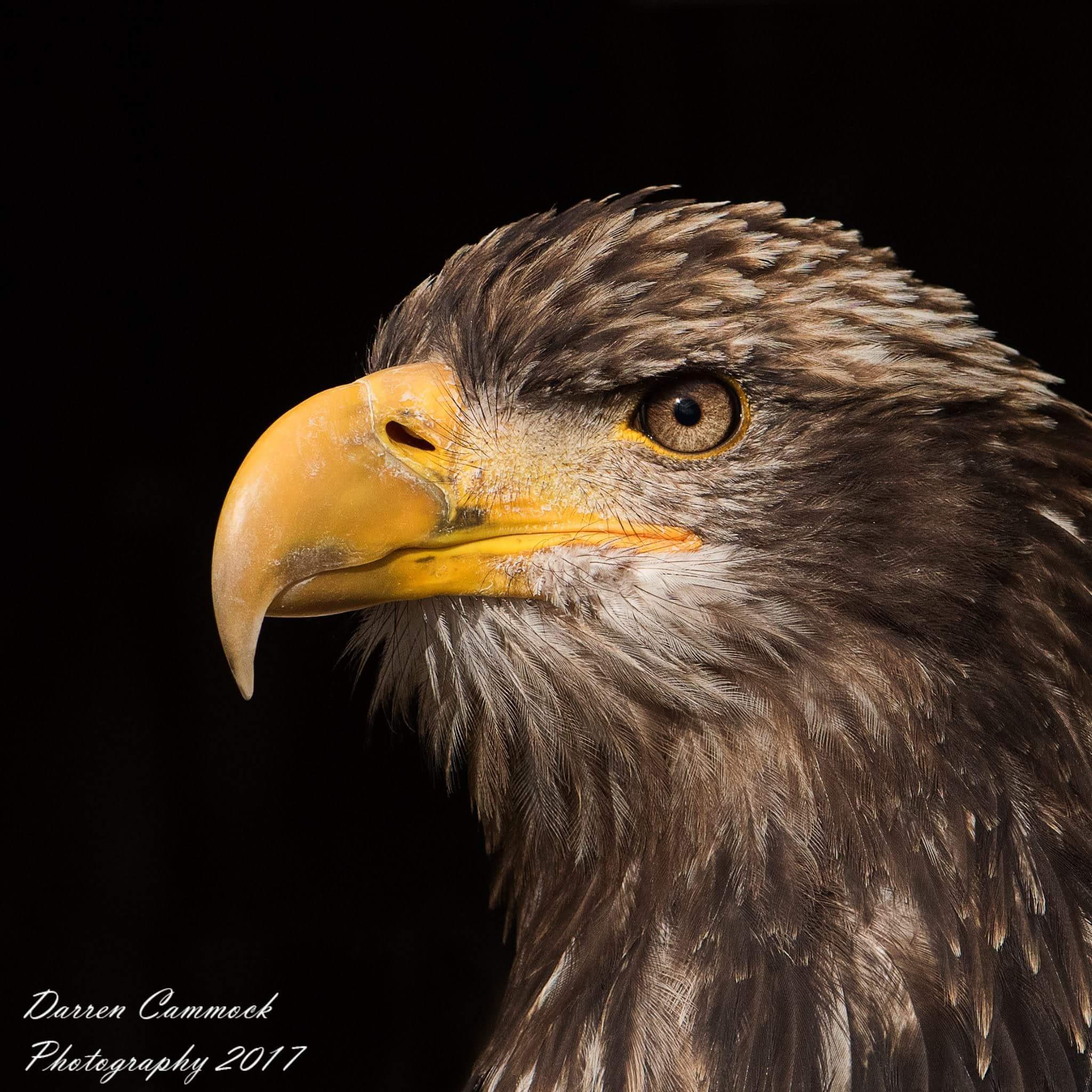 Juvenile Bald Eagle by darrencammock