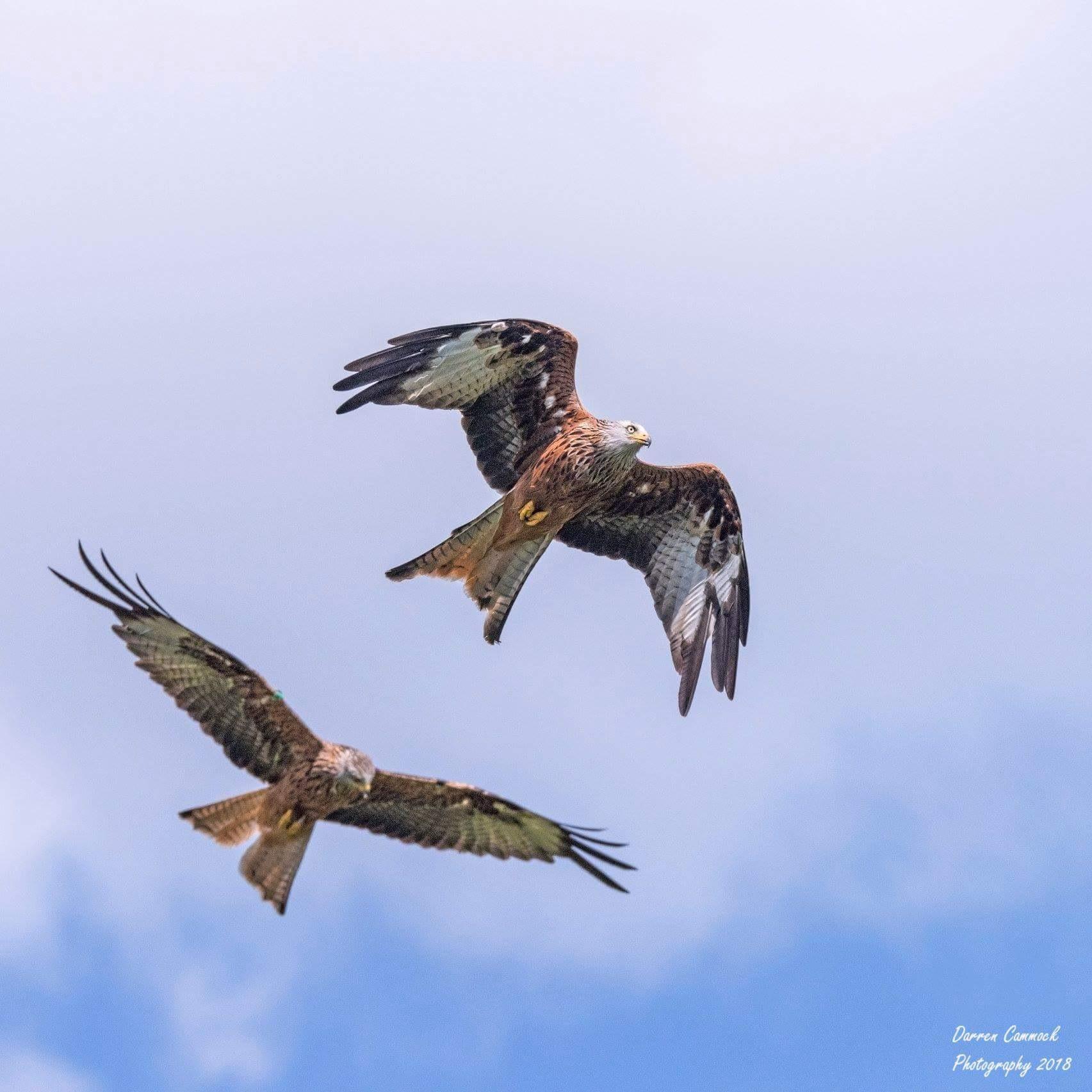 Red Kites by darrencammock