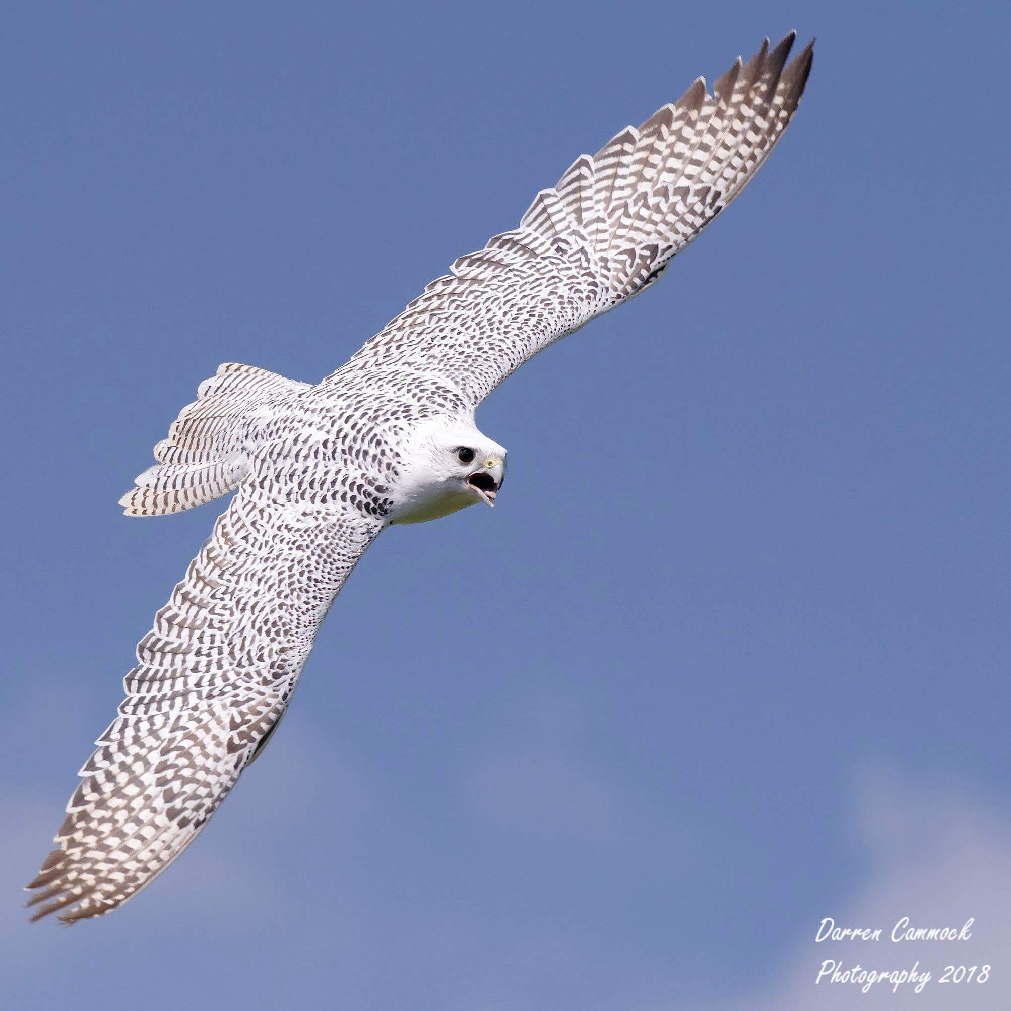 Hybrid Falcon by darrencammock