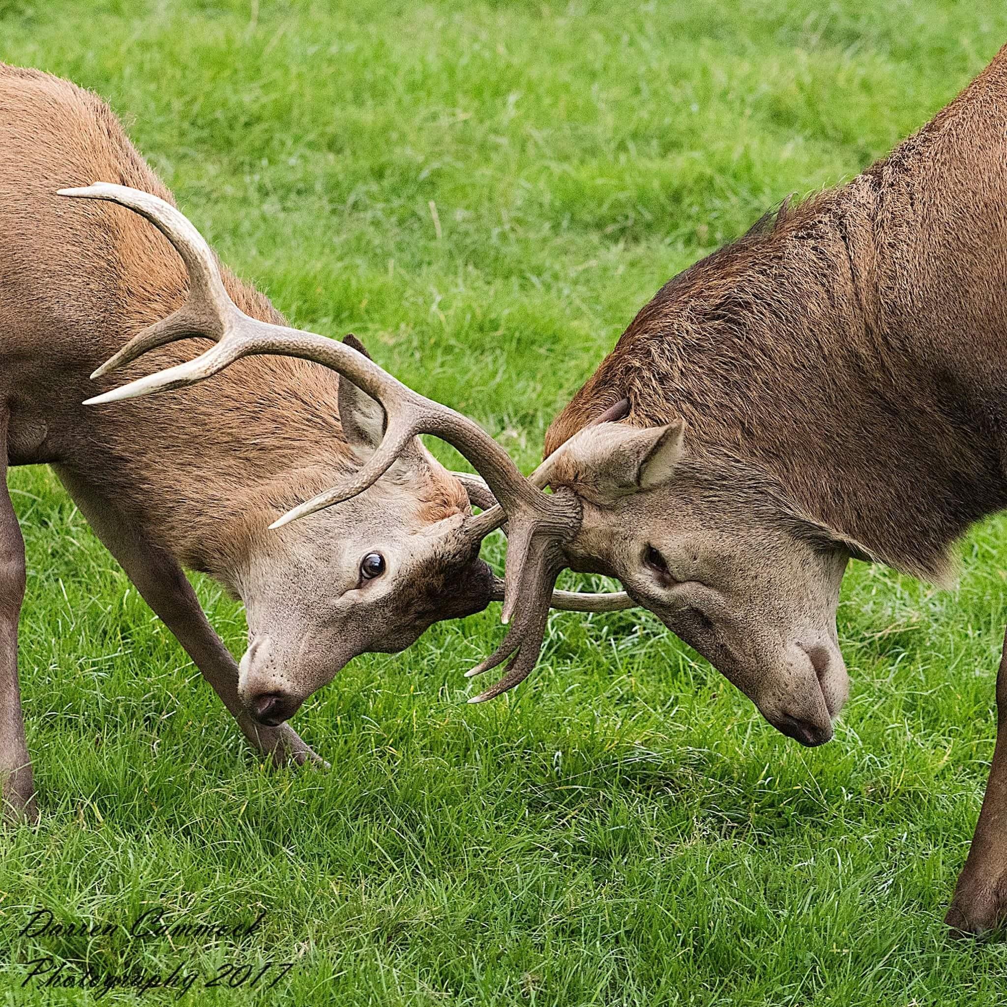 Deers by darrencammock
