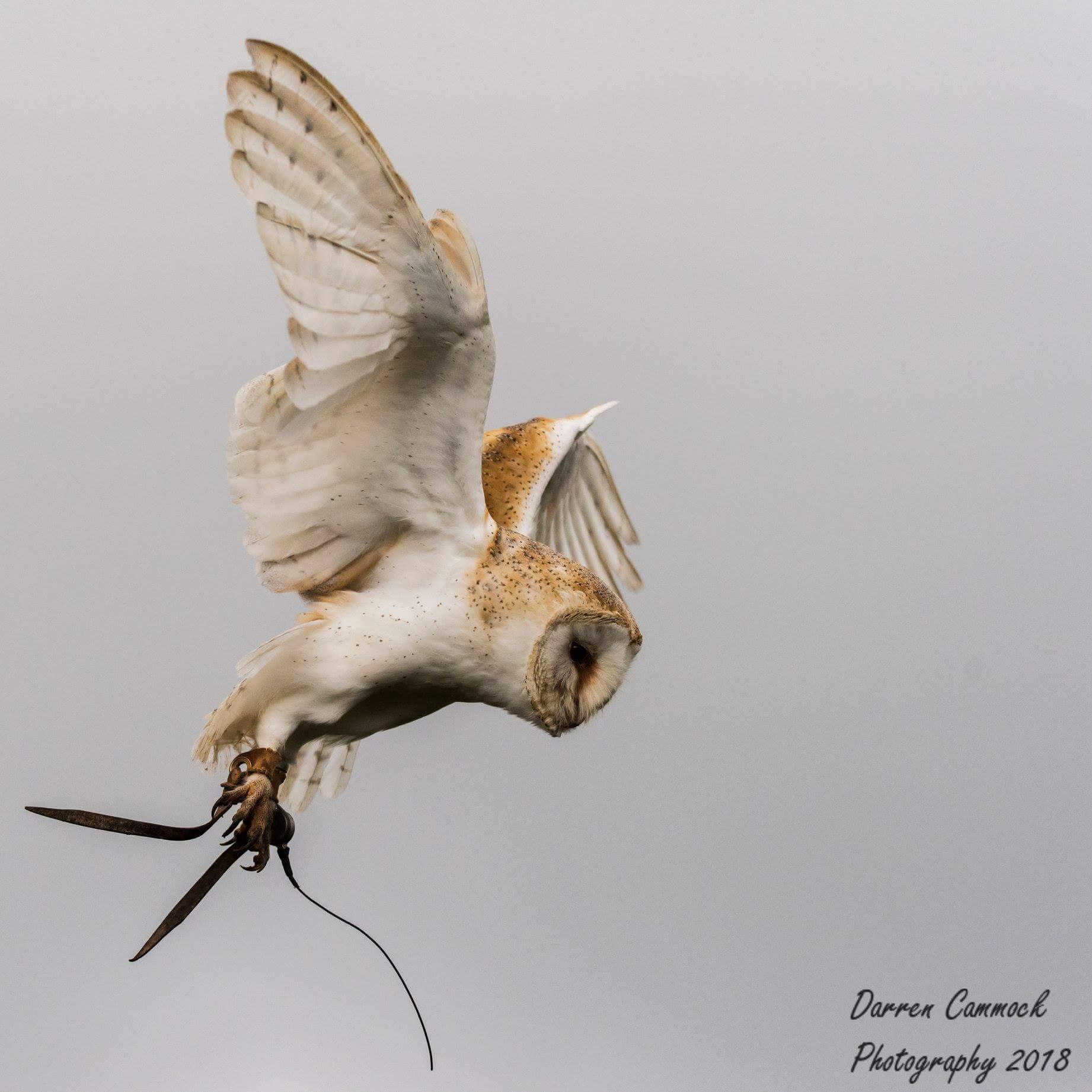Barn Owl by darrencammock