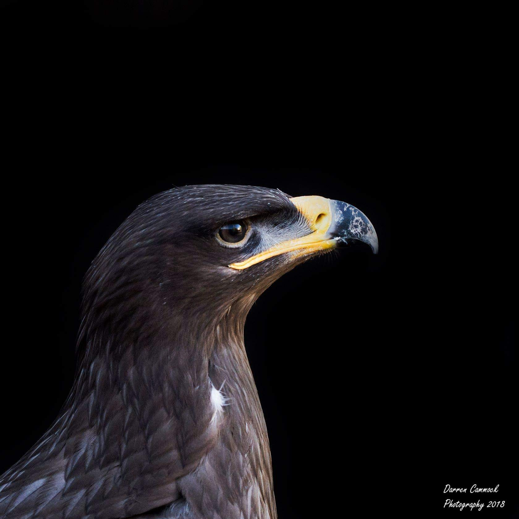 Steppe Eagle by darrencammock