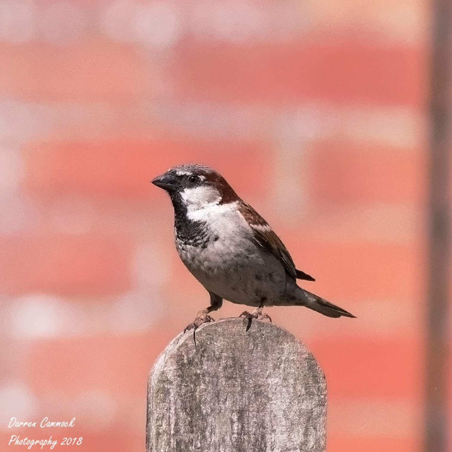 Male House Sparrow by darrencammock