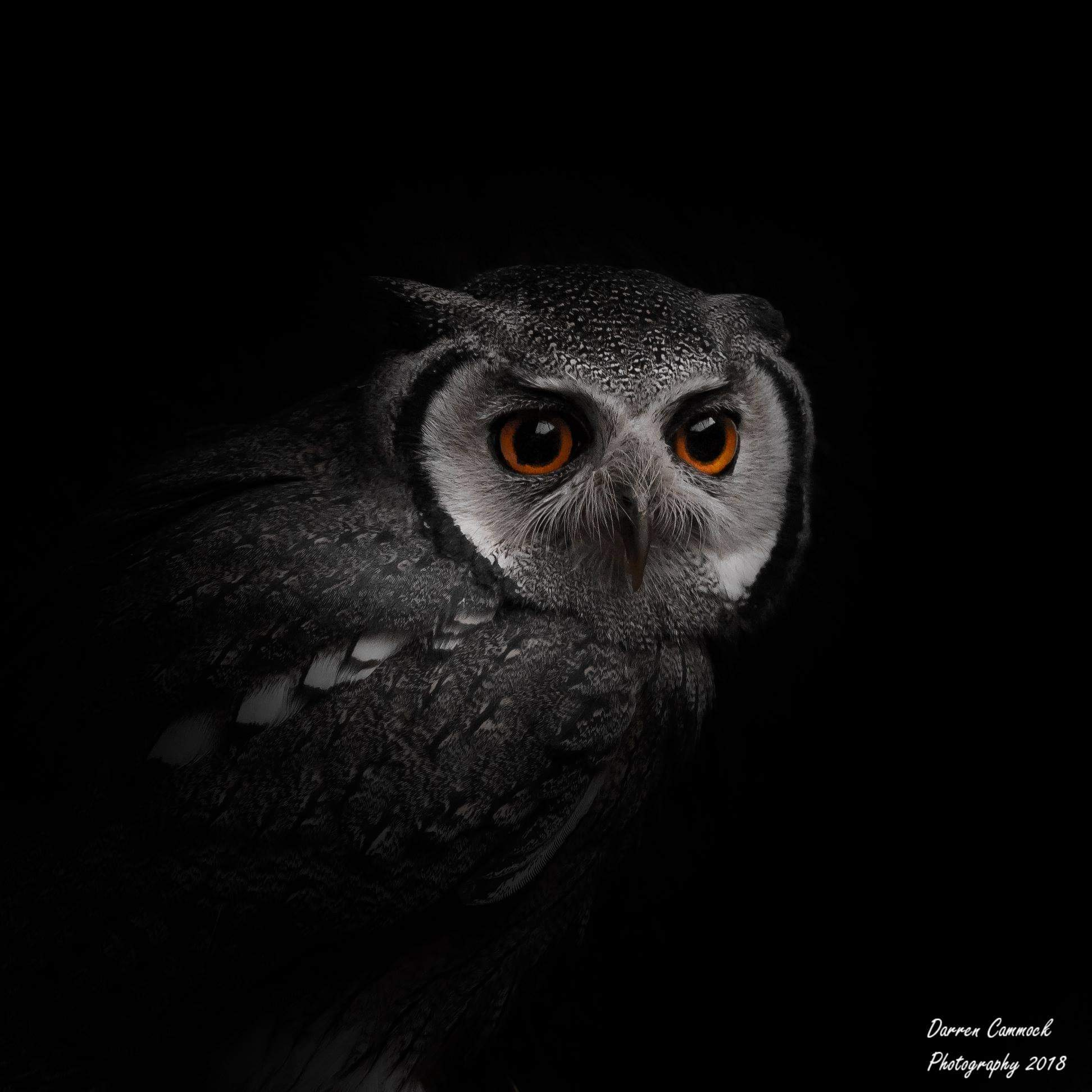 Northern White Faced Owl by darrencammock