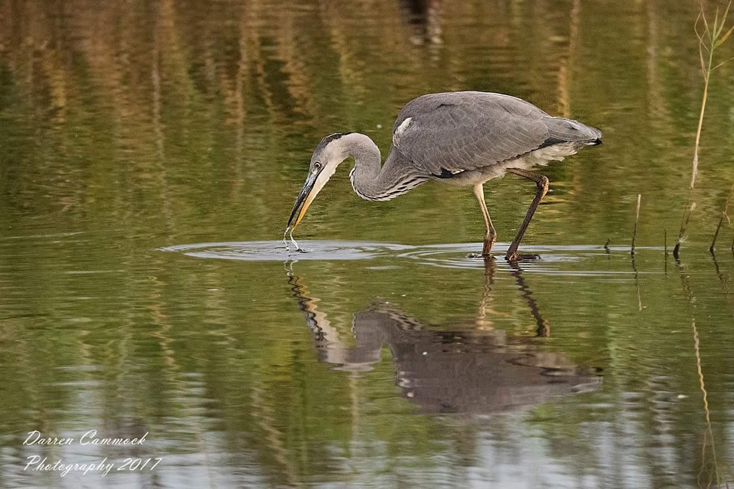 Heron by darrencammock