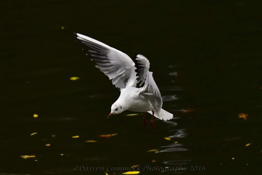 Dancing Gull by darrencammock