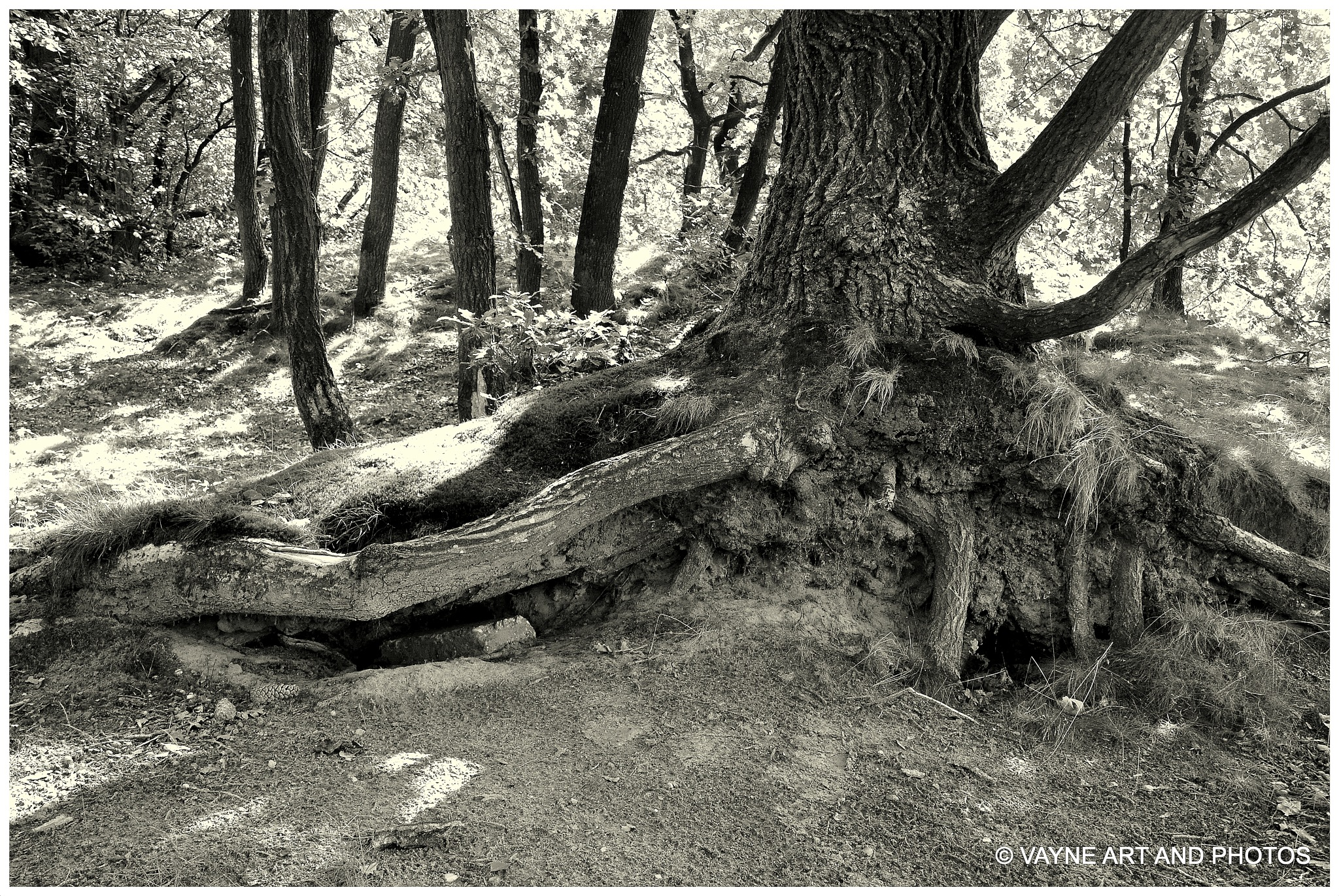 Old tree in black and white by Jacob van der Veen