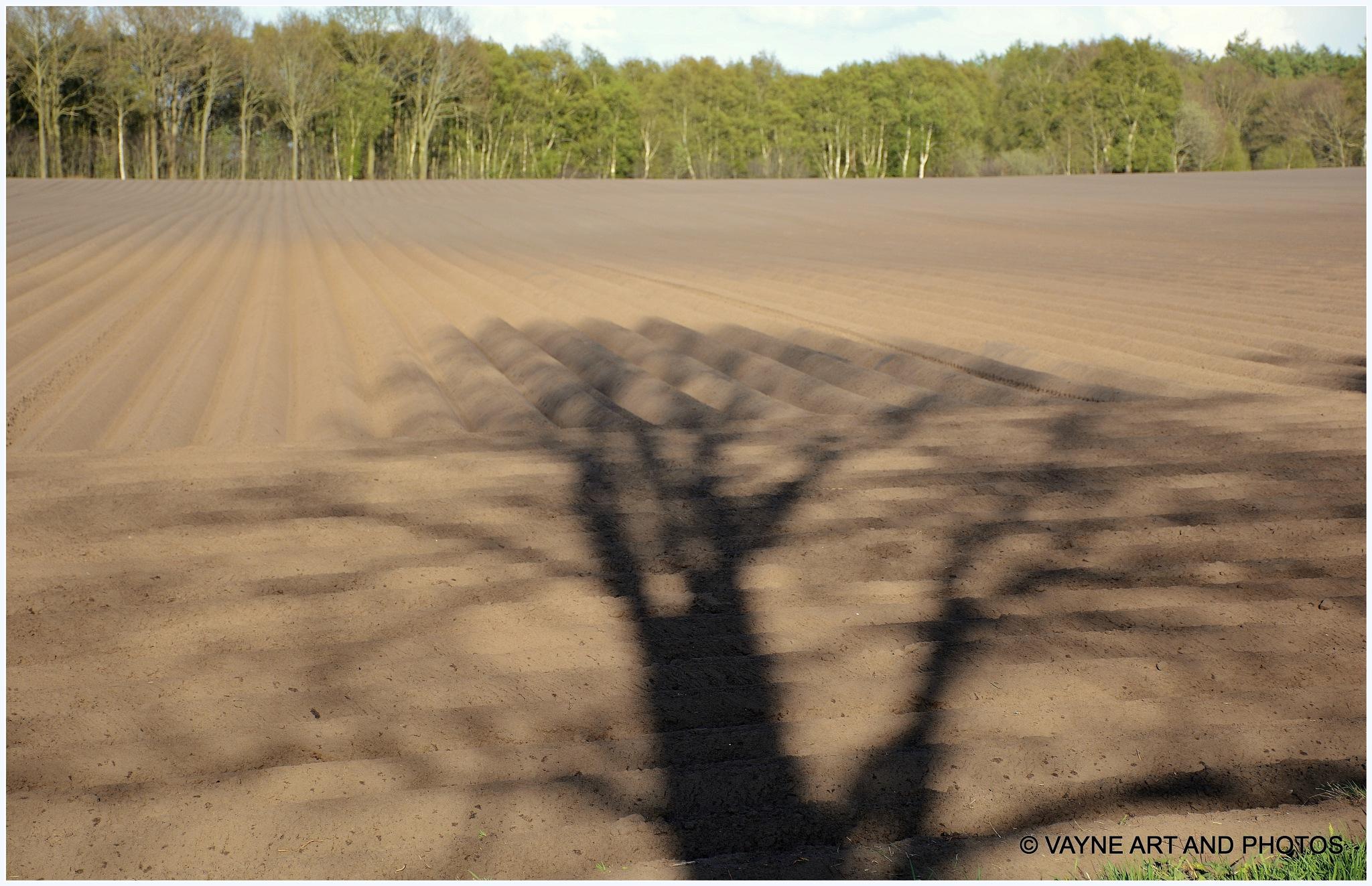 Old Oak shadow on a fresh acker by Jacob van der Veen