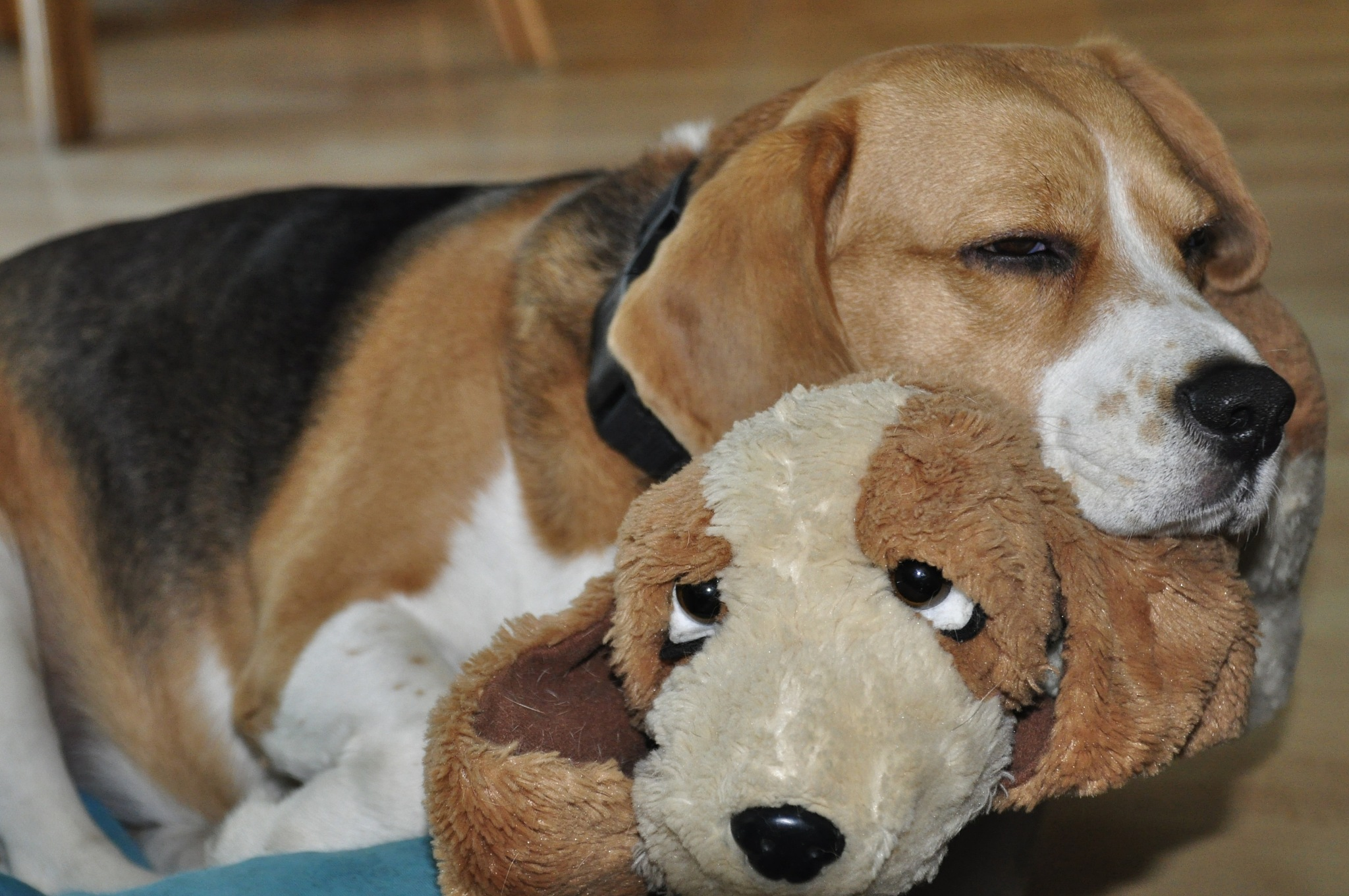 Beagle with toy by Jacob van der Veen