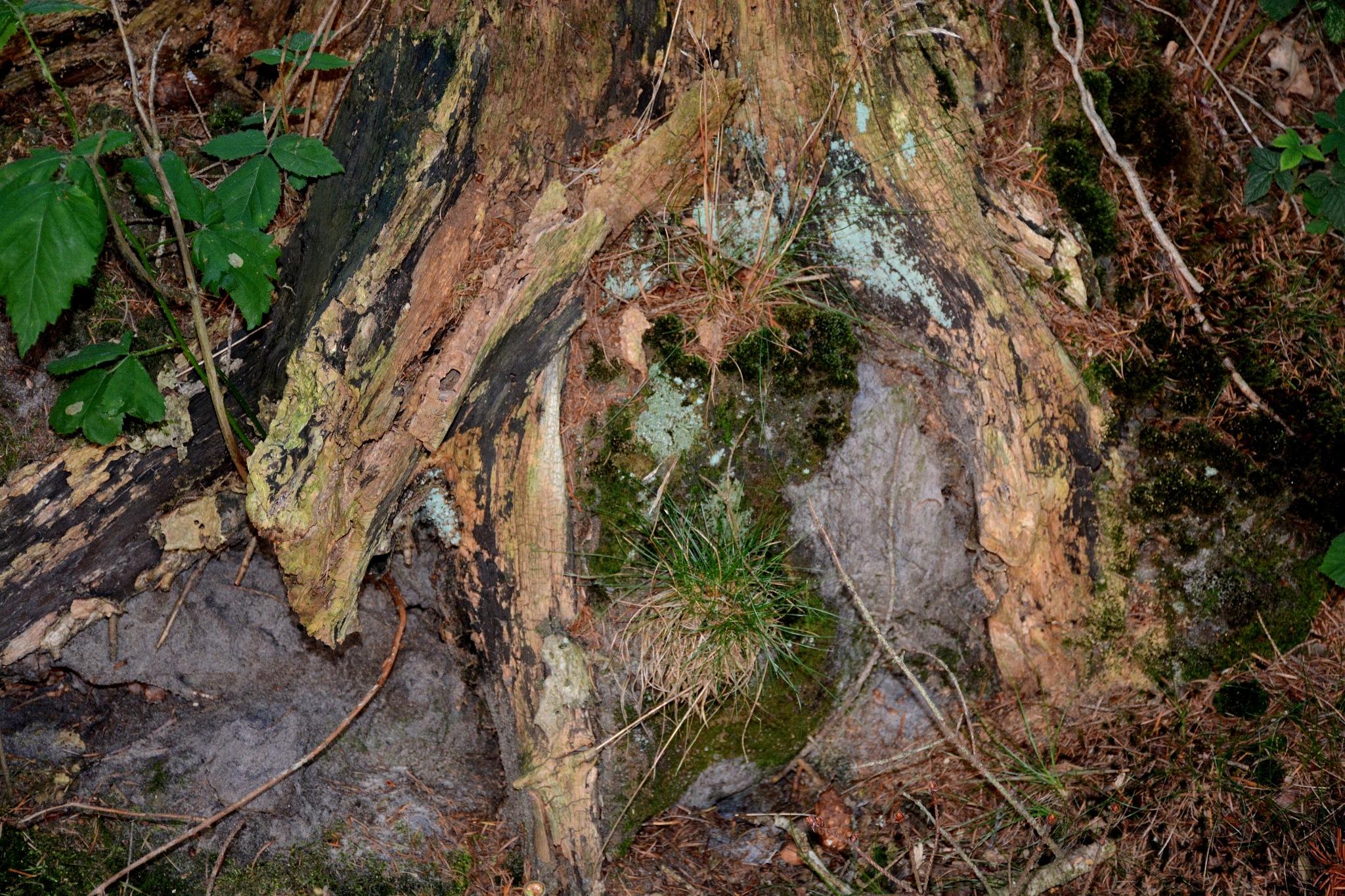 Old tree by Jacob van der Veen