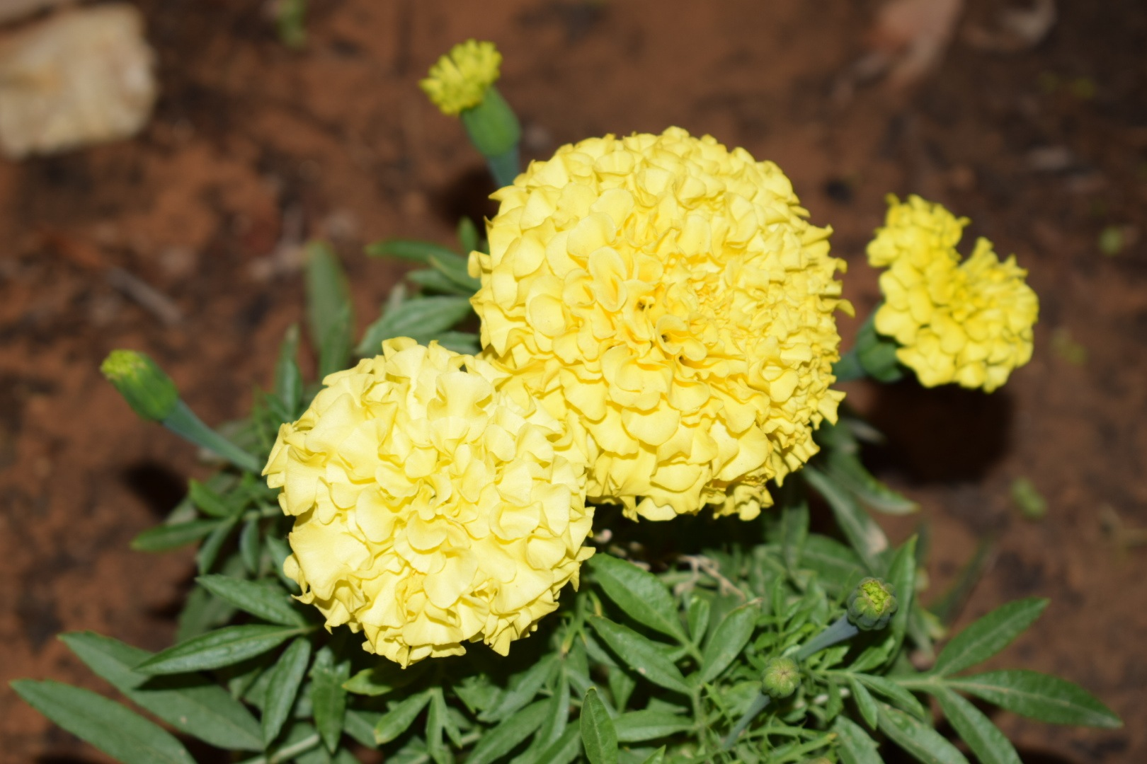 Yellow Flowers by Mohamed Fouad