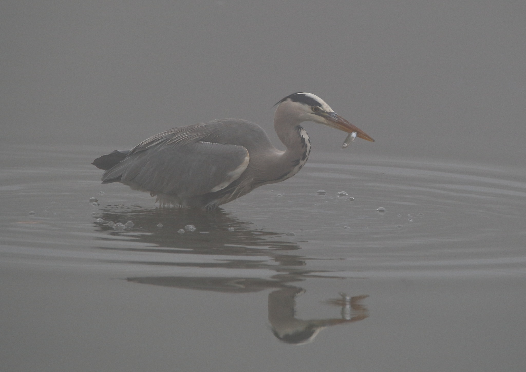 Heron in mist with catch by Philip Watson