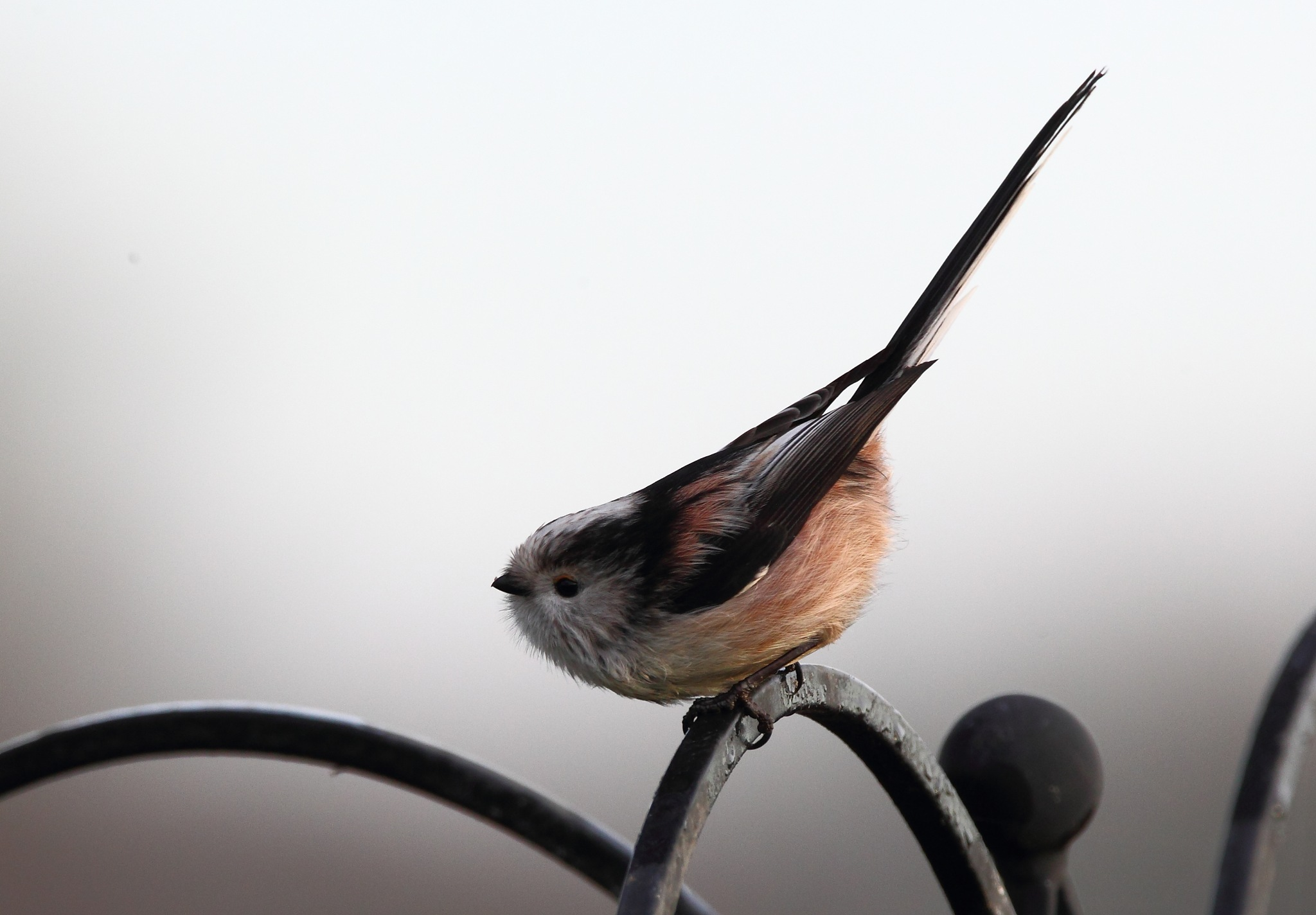 Long Tailed Tit 2 by Philip Watson