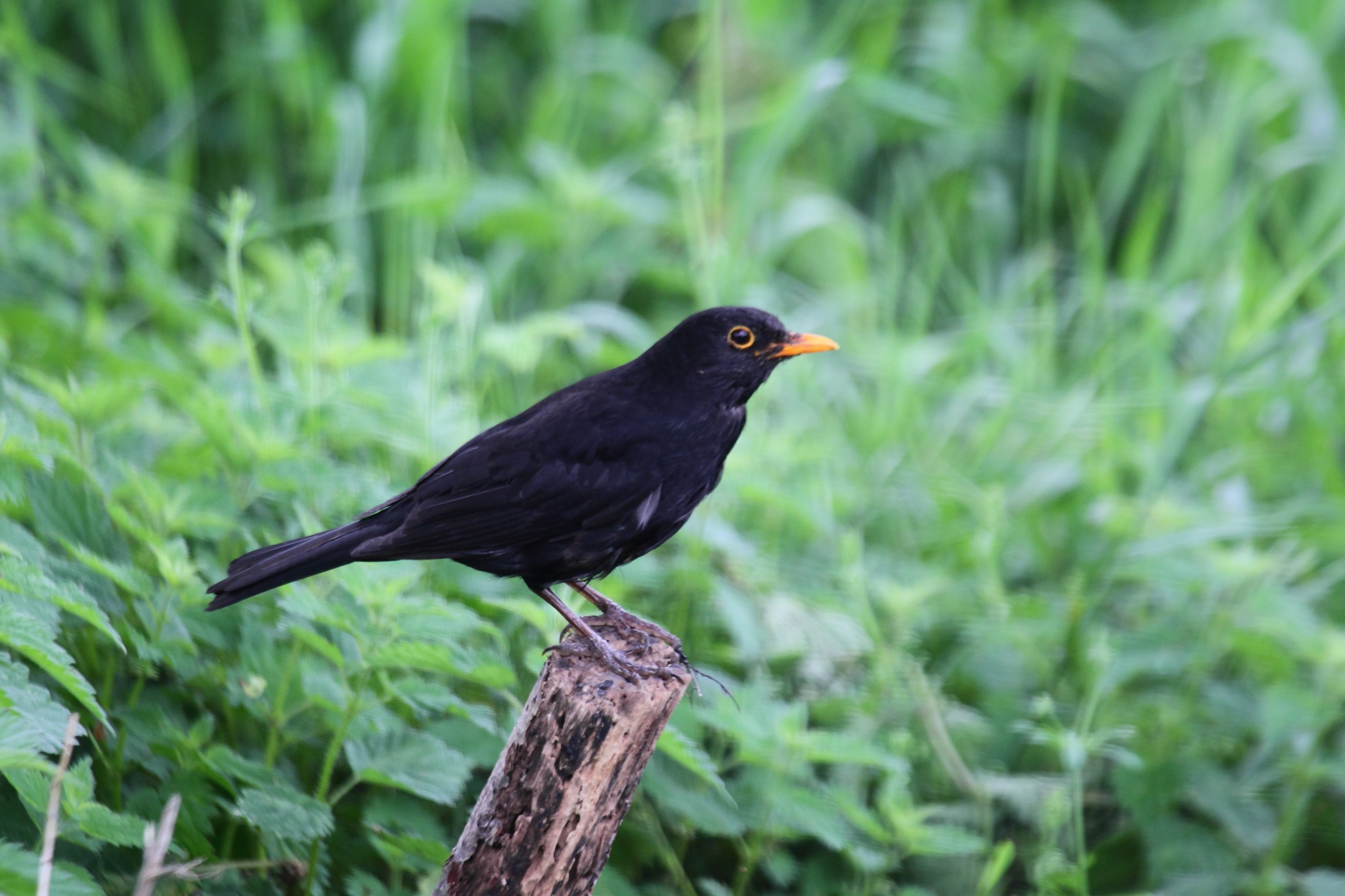Blackbird by Philip Watson