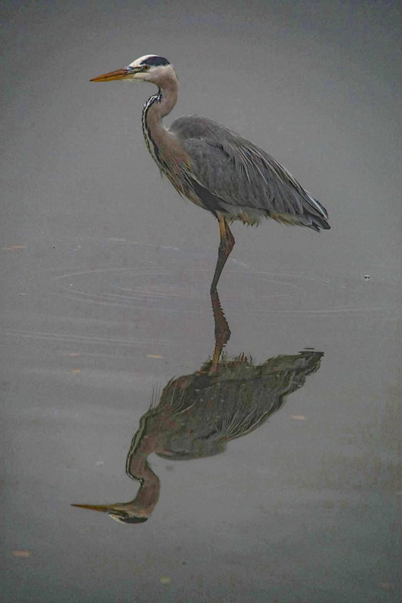 Heron (dehazed) by Philip Watson