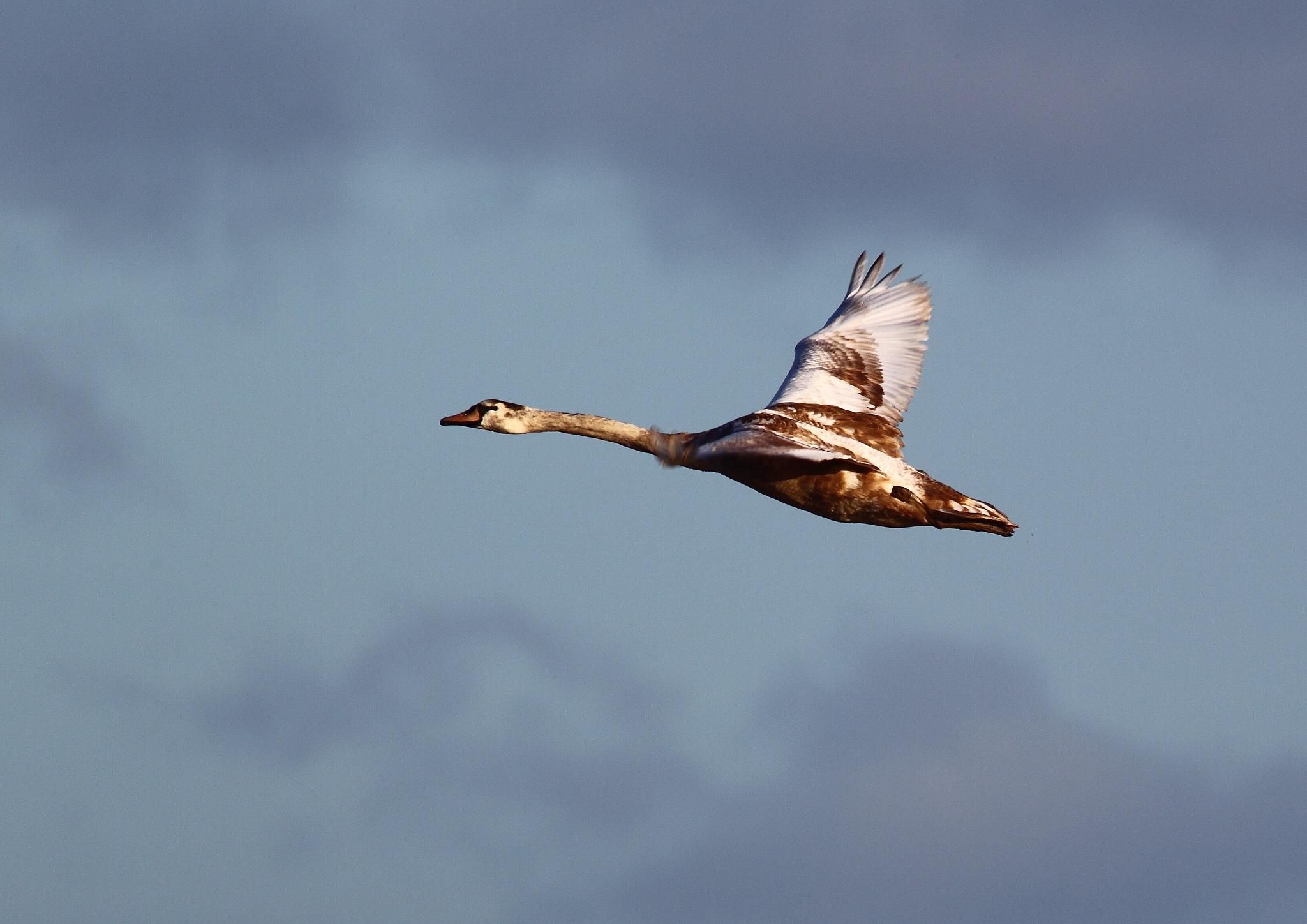 Swan 1 by Philip Watson