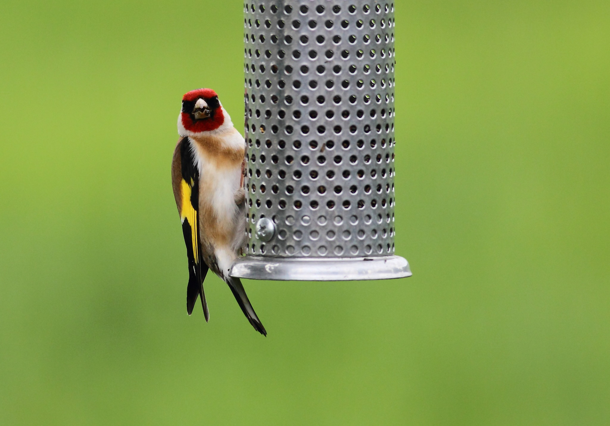 Goldfinch on feeder by Philip Watson