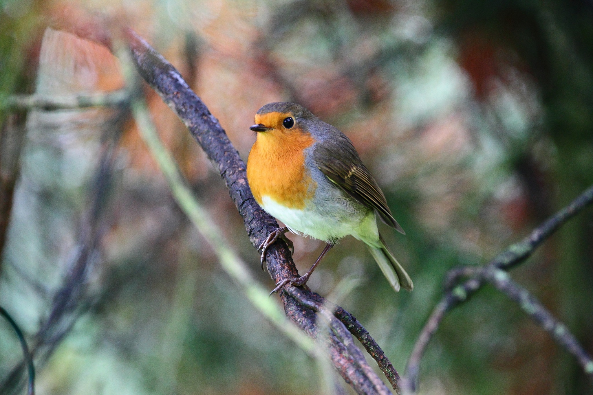 Robin by Philip Watson