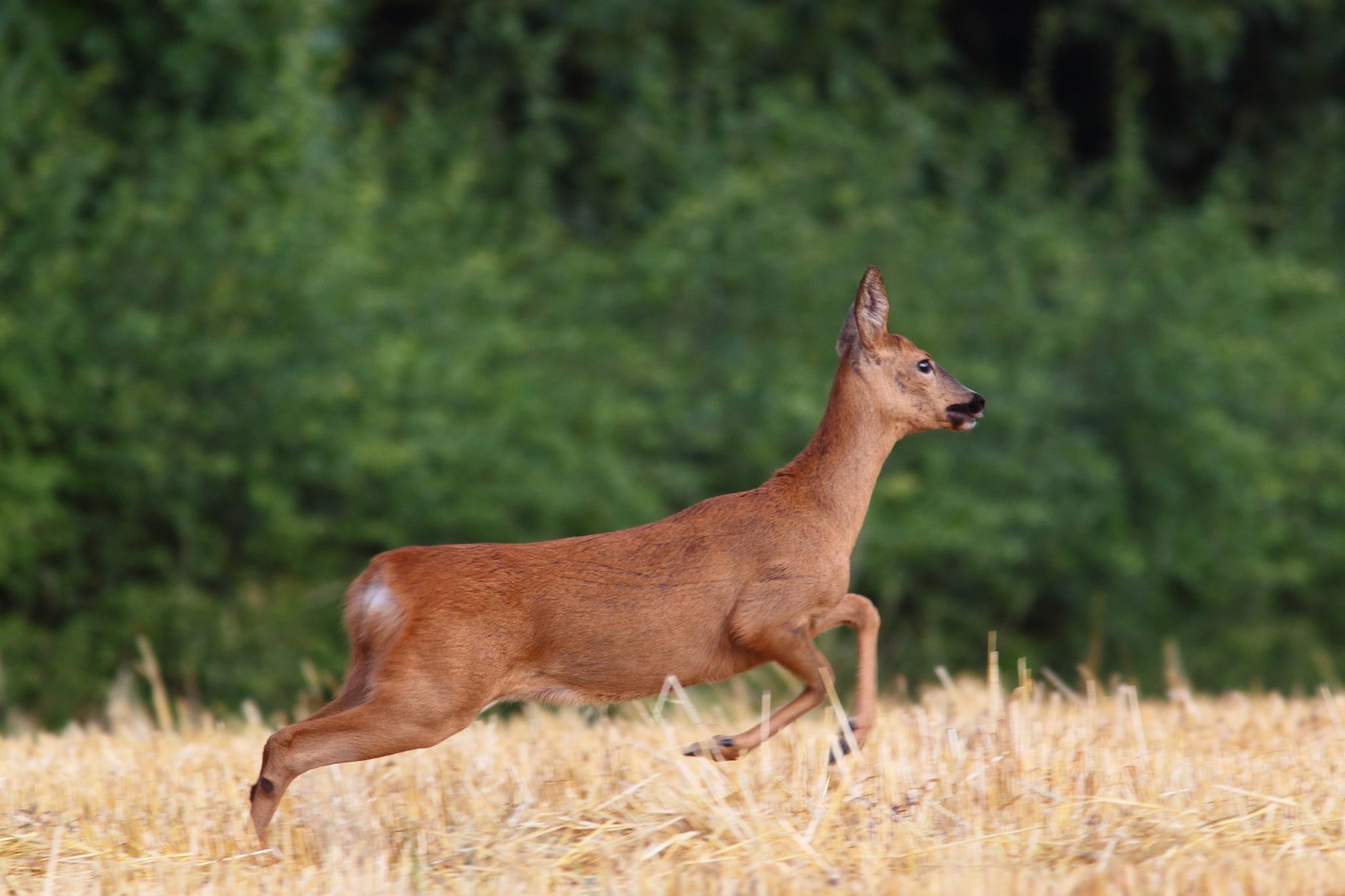 Deer by Philip Watson