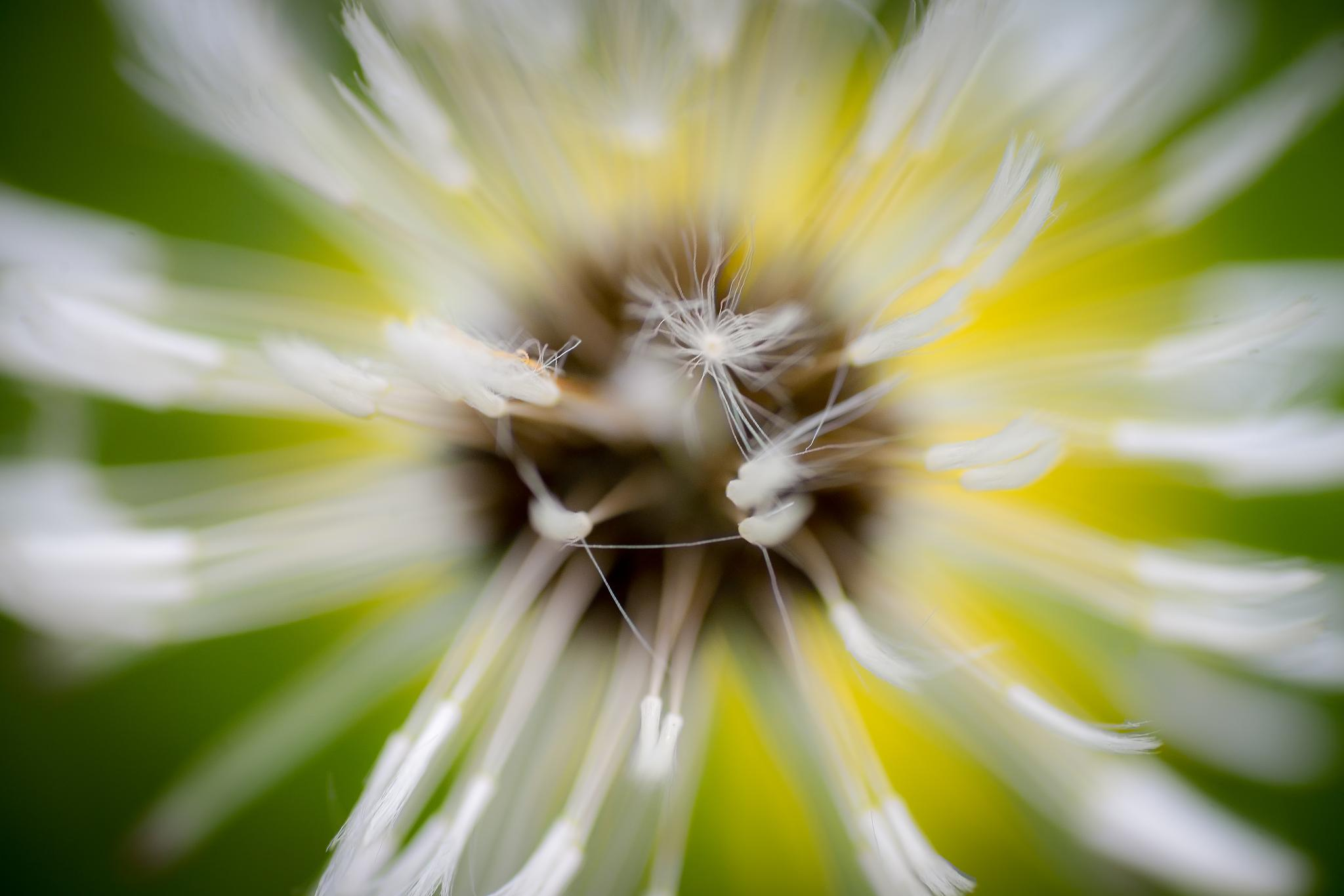 Photo in Macro #green #yellow #white #dandelion