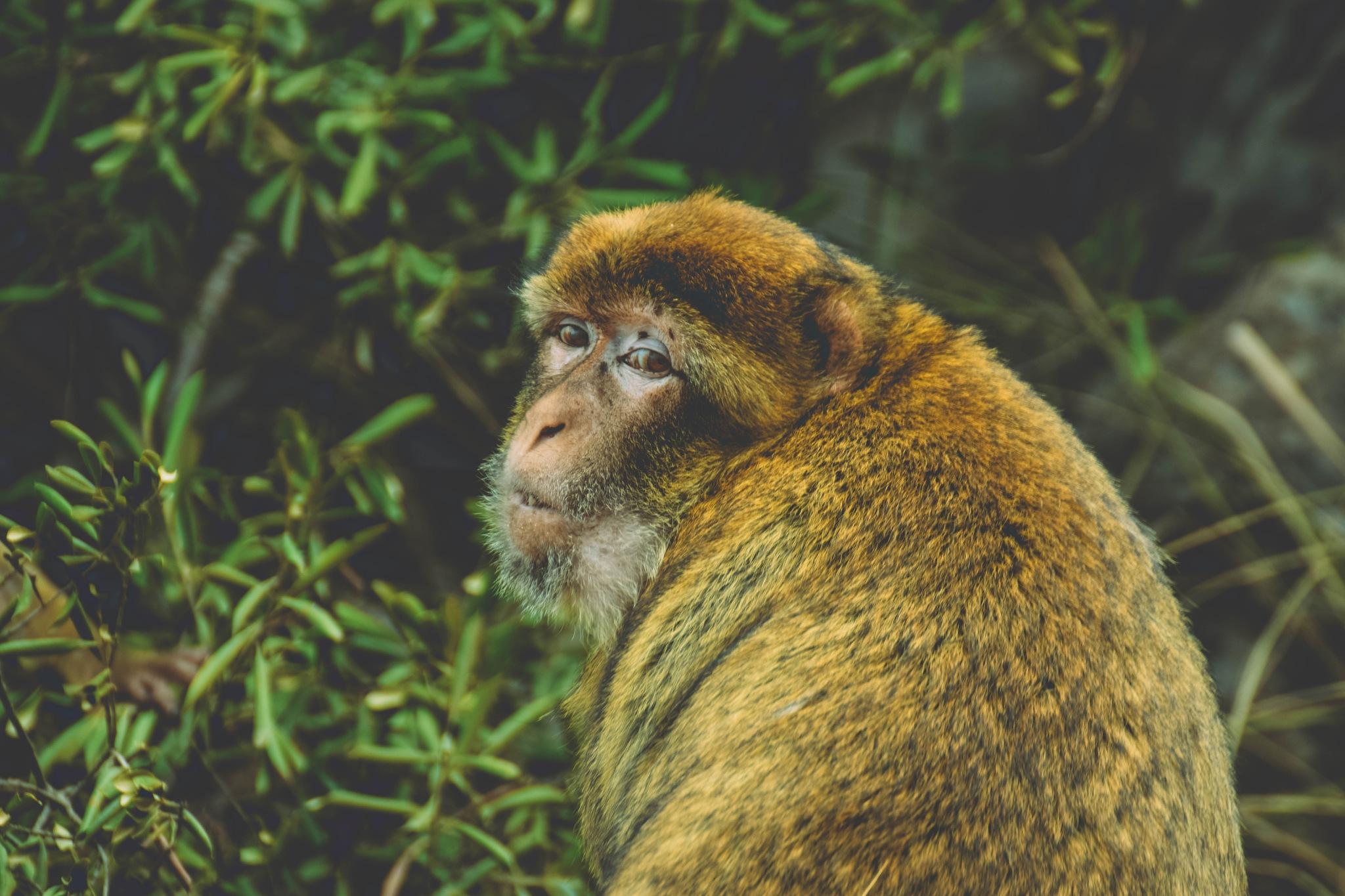 Monkey  by islamFersaoui