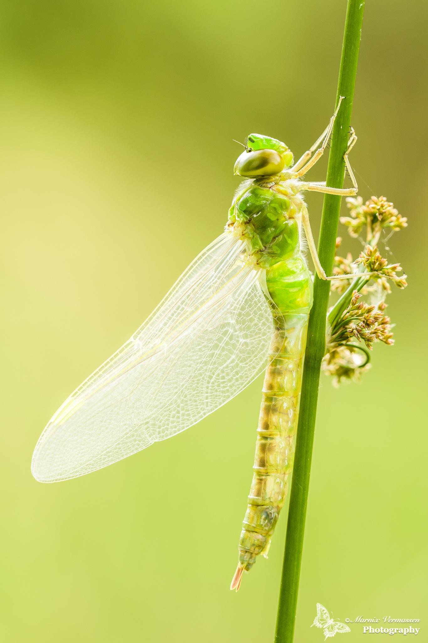 Fresh imperor dragonfly in backlight by Dextro