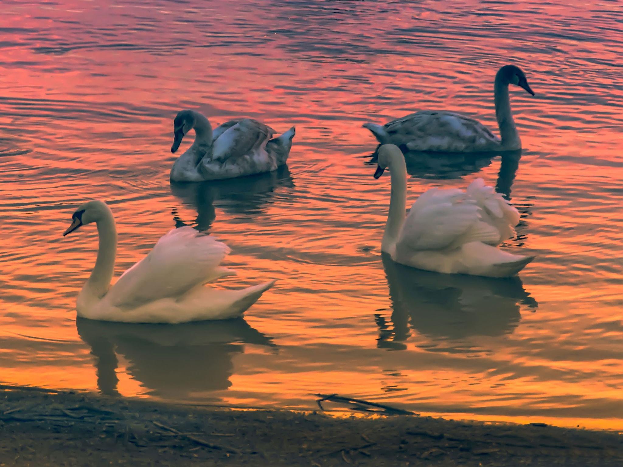 Swan Lake by Zeljko Jelavic