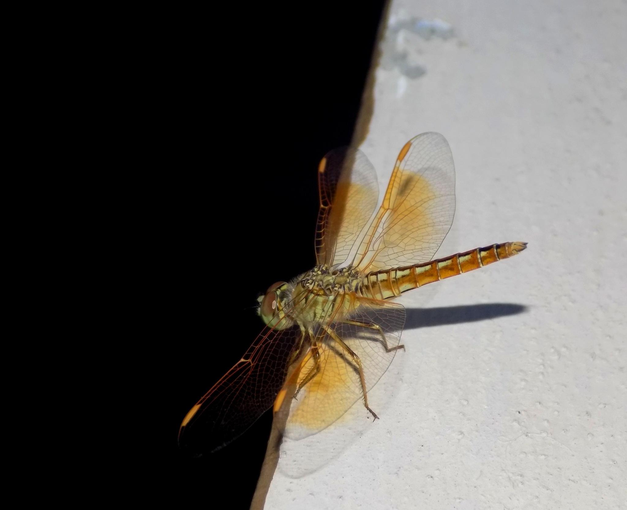 Dragonfly by Chandramoulieswar