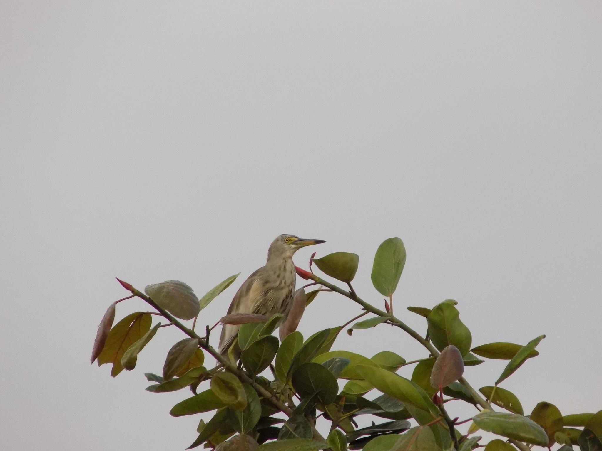 Bird on a Tree by Chandramoulieswar