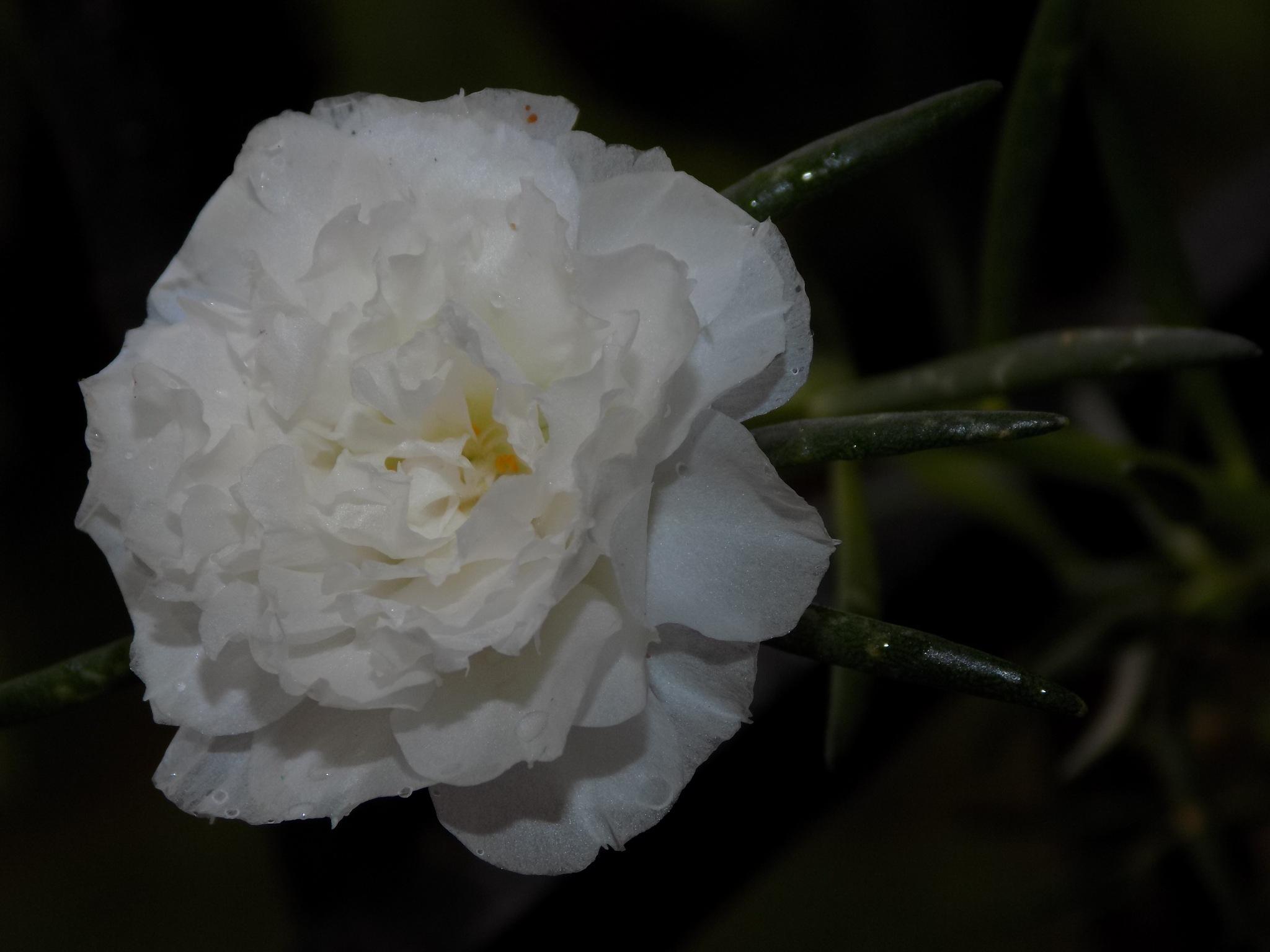 White flower by Chandramoulieswar